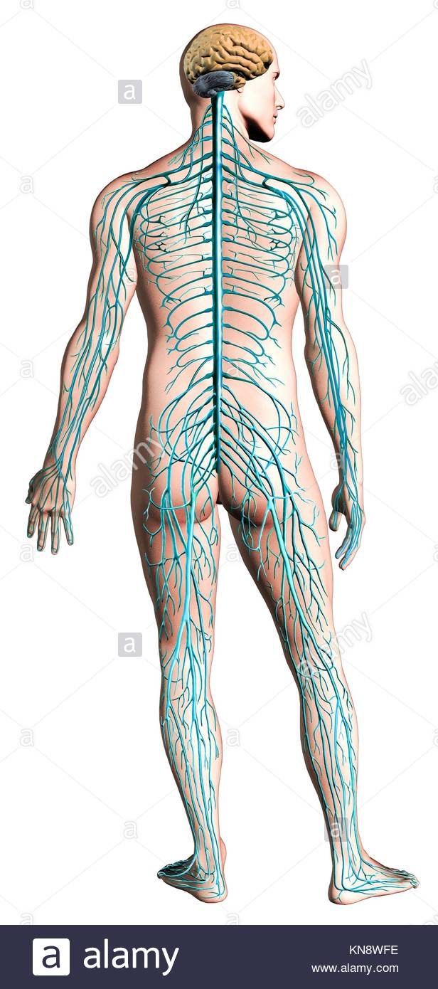 Human nervous system diagram. Anatomy cross section, with clipping path included. - Stock Image