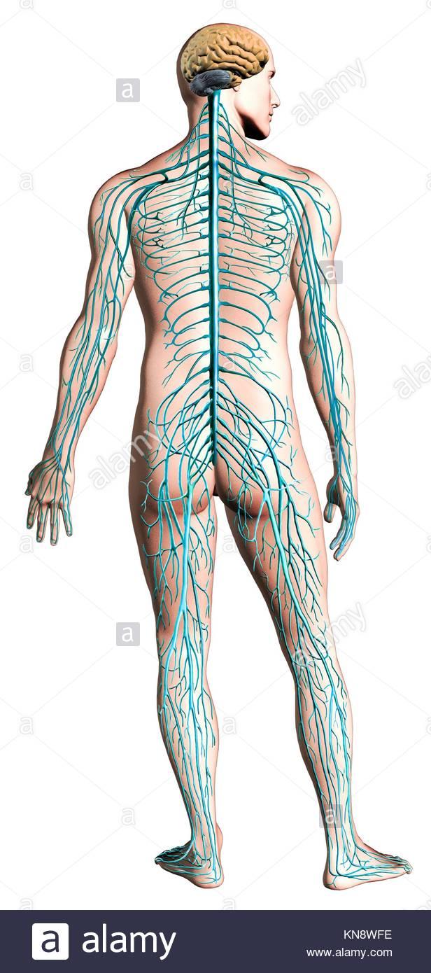 Nervous System Diagram Stock Photos Nervous System Diagram Stock