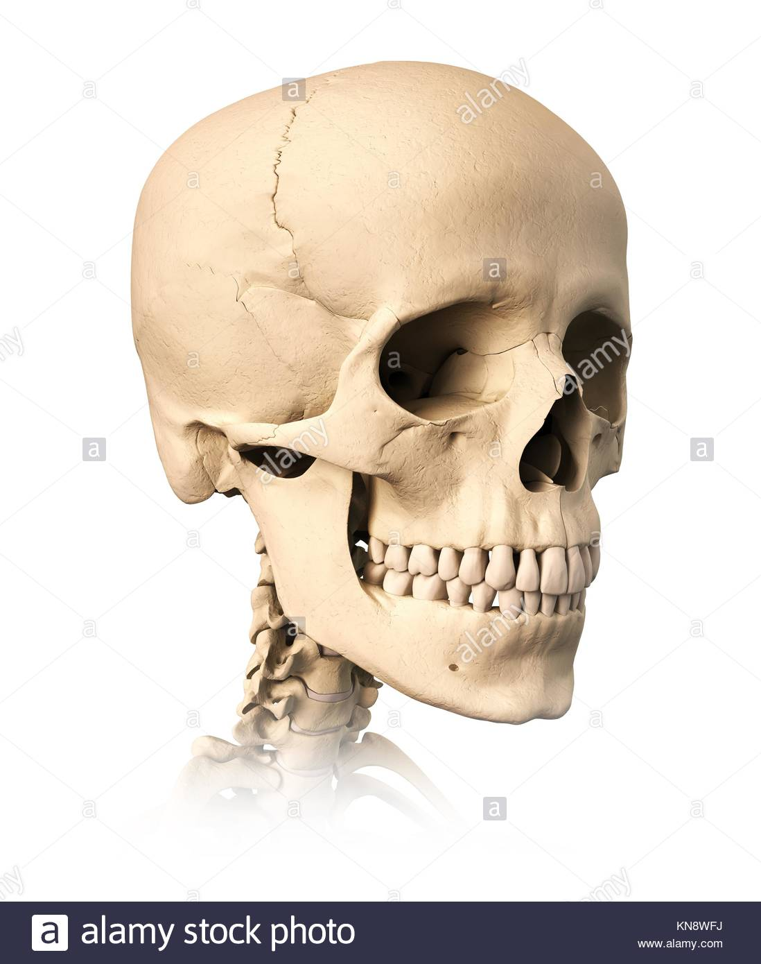 Very detailed and scientifically correct human skull, on white background. Anatomy image. - Stock Image