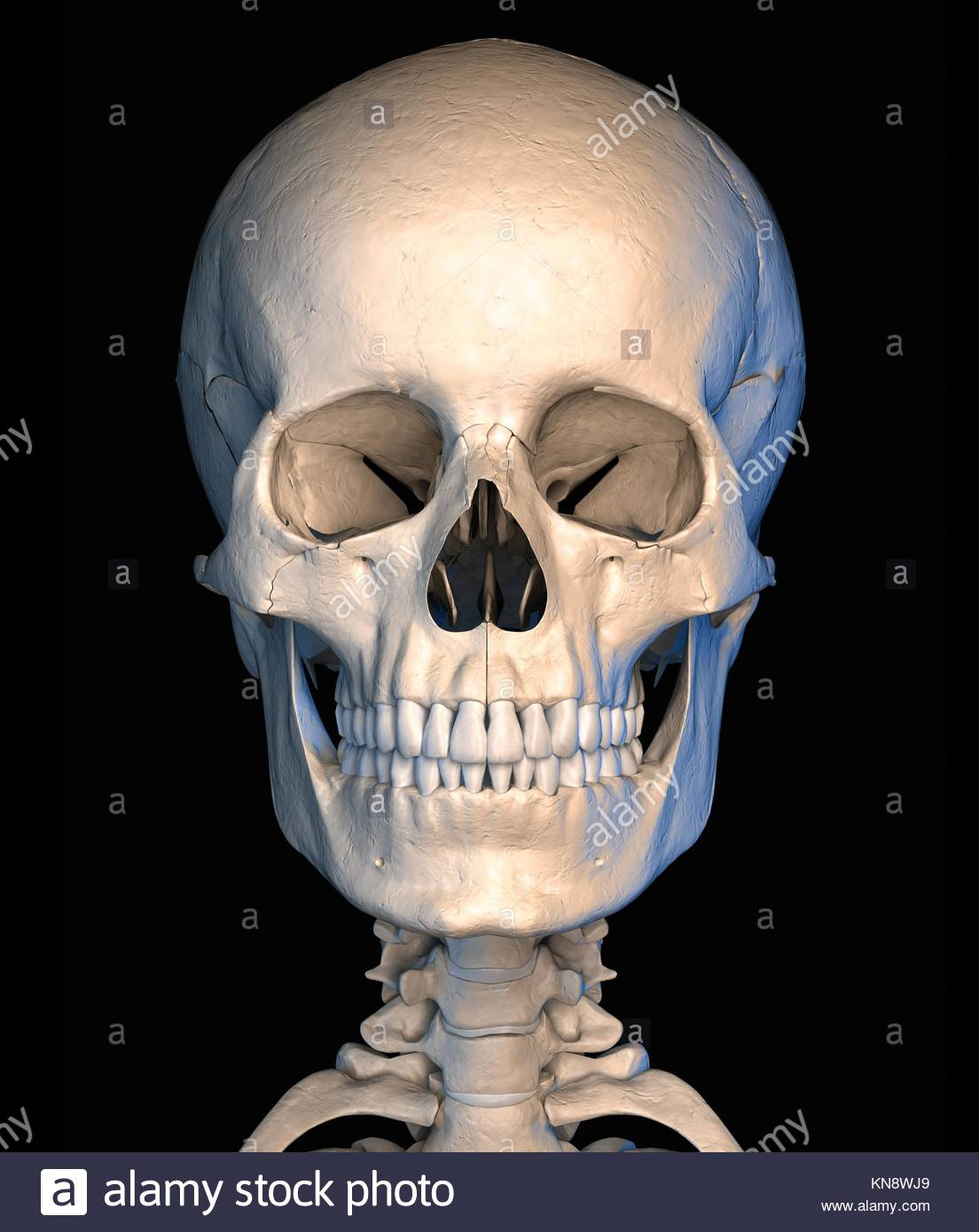 Very Detailed And Scientifically Correct Human Skull Front View