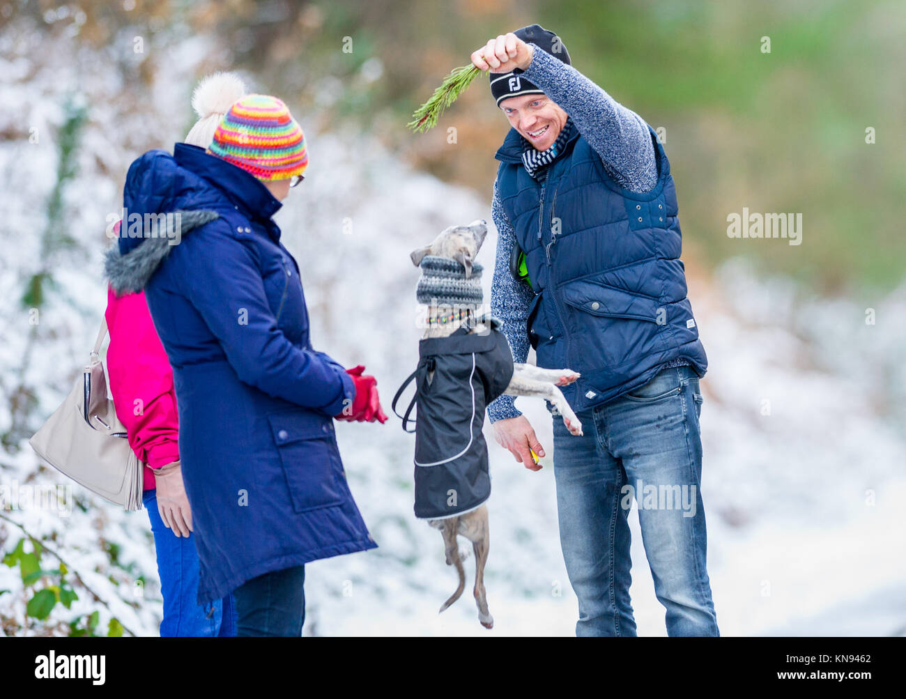Man teasing a young Whippet pup with a pine tree leaf. - Stock Image