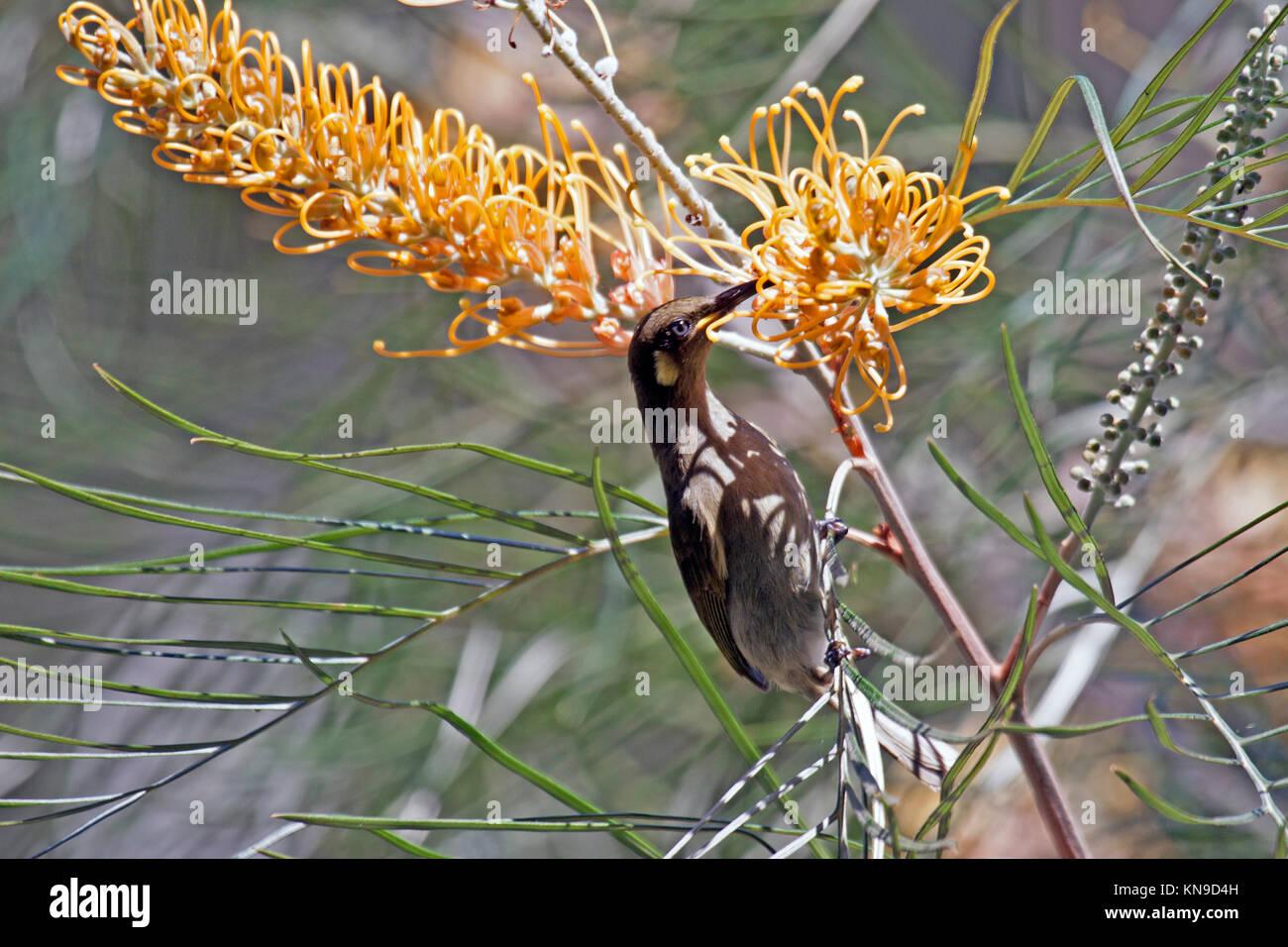 Graceful honeyeater feeding at blossoms of flowering shrub in Queensland Australia - Stock Image