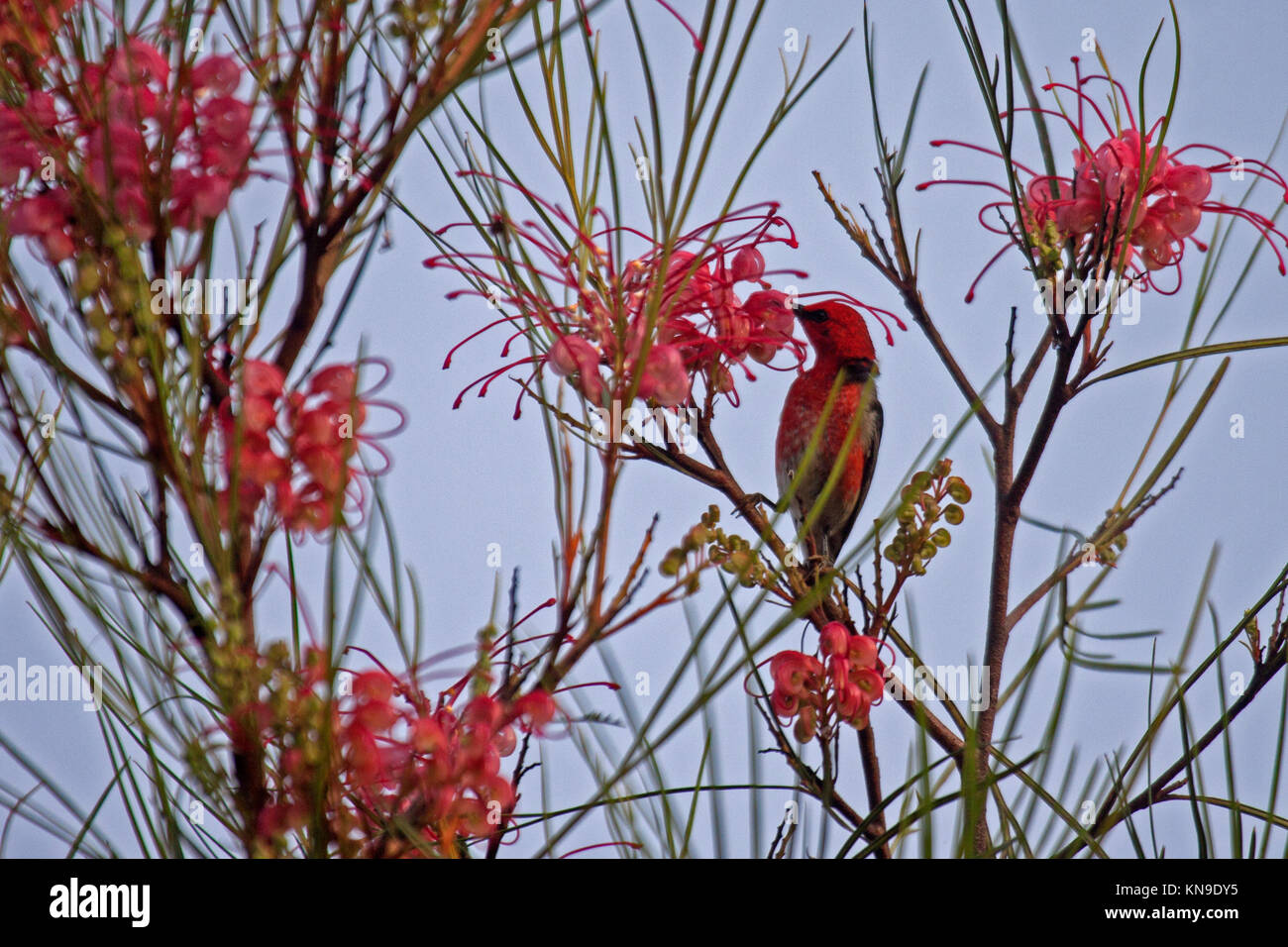 Scarlet honeyeater adult male feeding at flowering shrub in Queensland Australia - Stock Image
