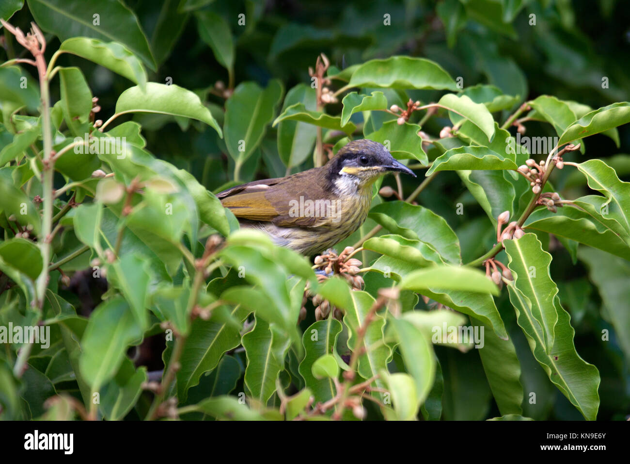 Varied honeyeater searching for nectar in tree canopy in Queensland Australia - Stock Image