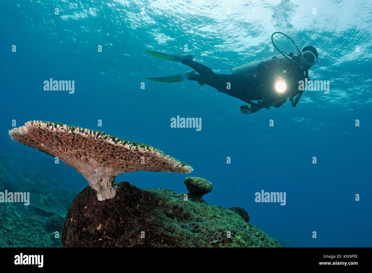 Scuba Diver shining torch on Table Coral (Acropora), Island of Borneo, Sipadan Island, Malaysia. - Stock Image