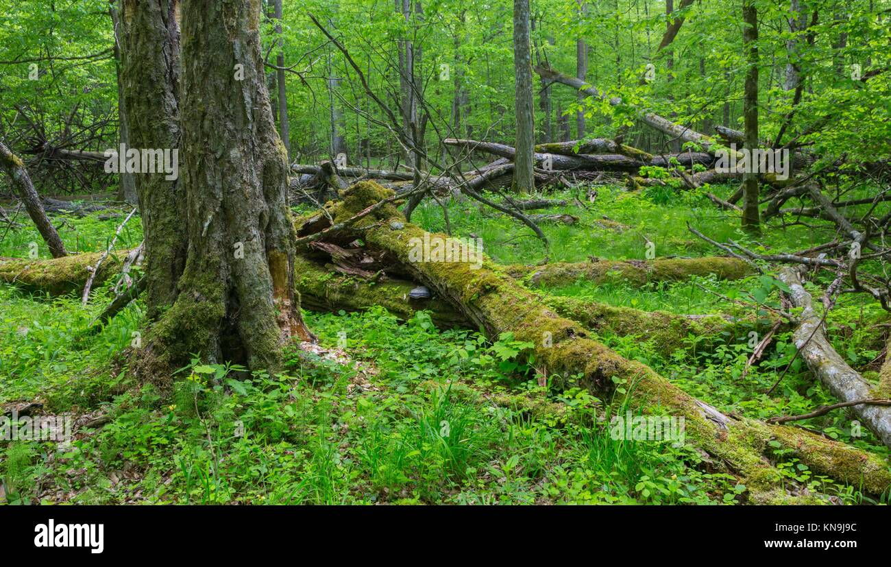 Old monumental Hornbeam Trees (Carpinus betulus) and broken trees around in deciduous stand, Bialowieza Forest,Poland,Europe. - Stock Image