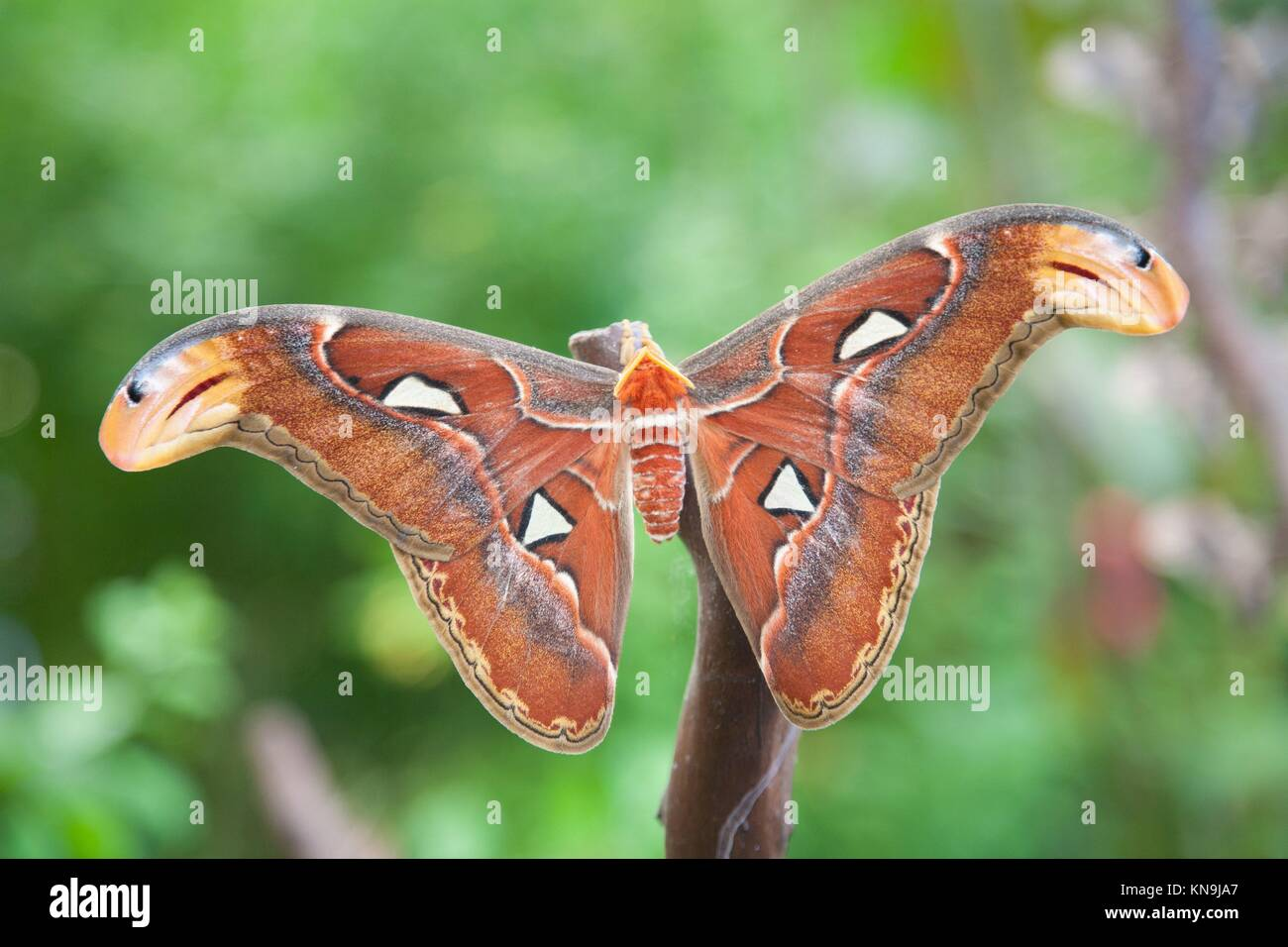 beautiful tropical orange, brown and white moth butterfly named Attacus Atlas, from Saturniidae family, also known - Stock Image