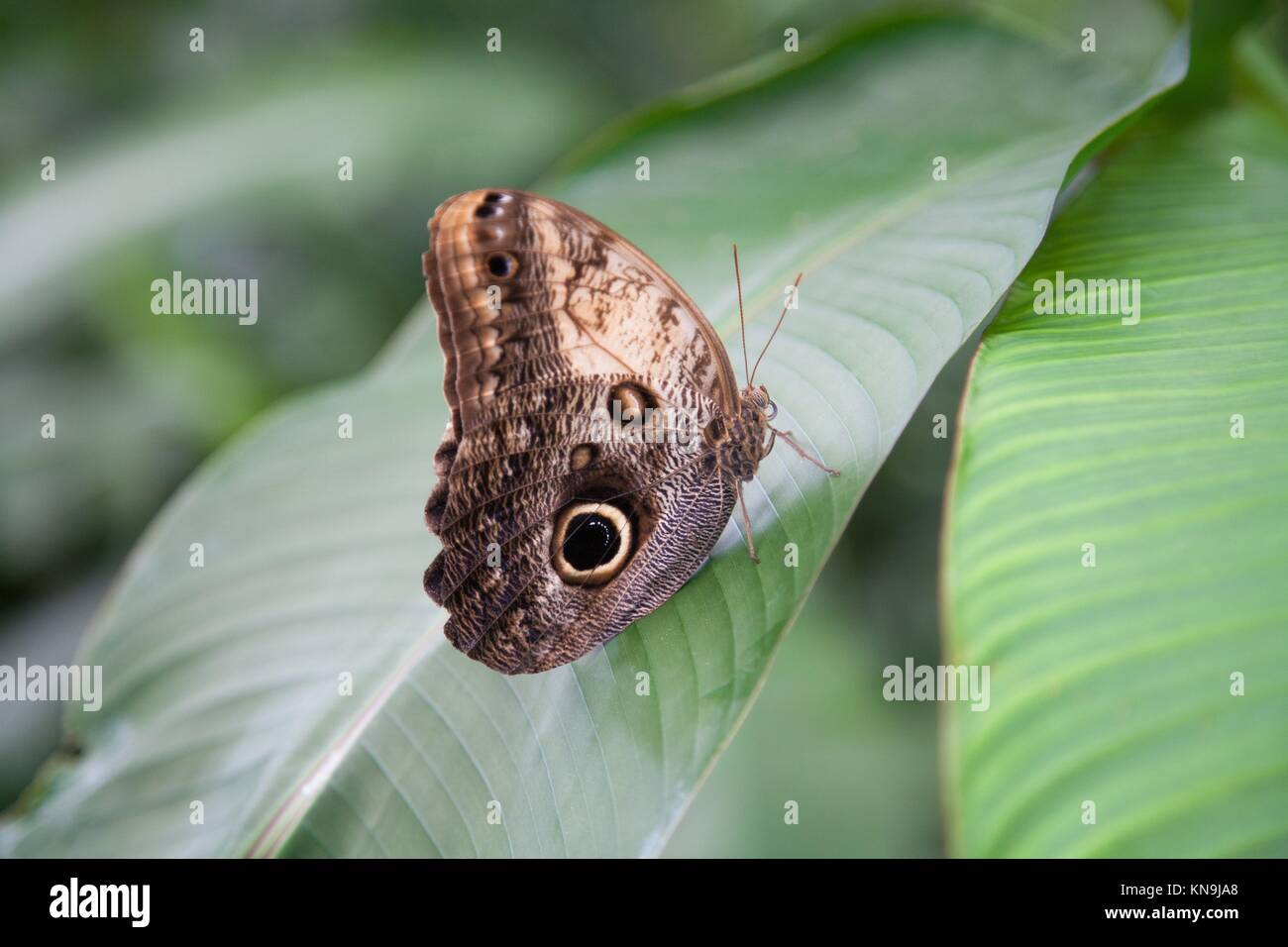 beautiful tropical brown with black circles iridescent butterfly named Morpho peleides, from Nymphalidae family, - Stock Image