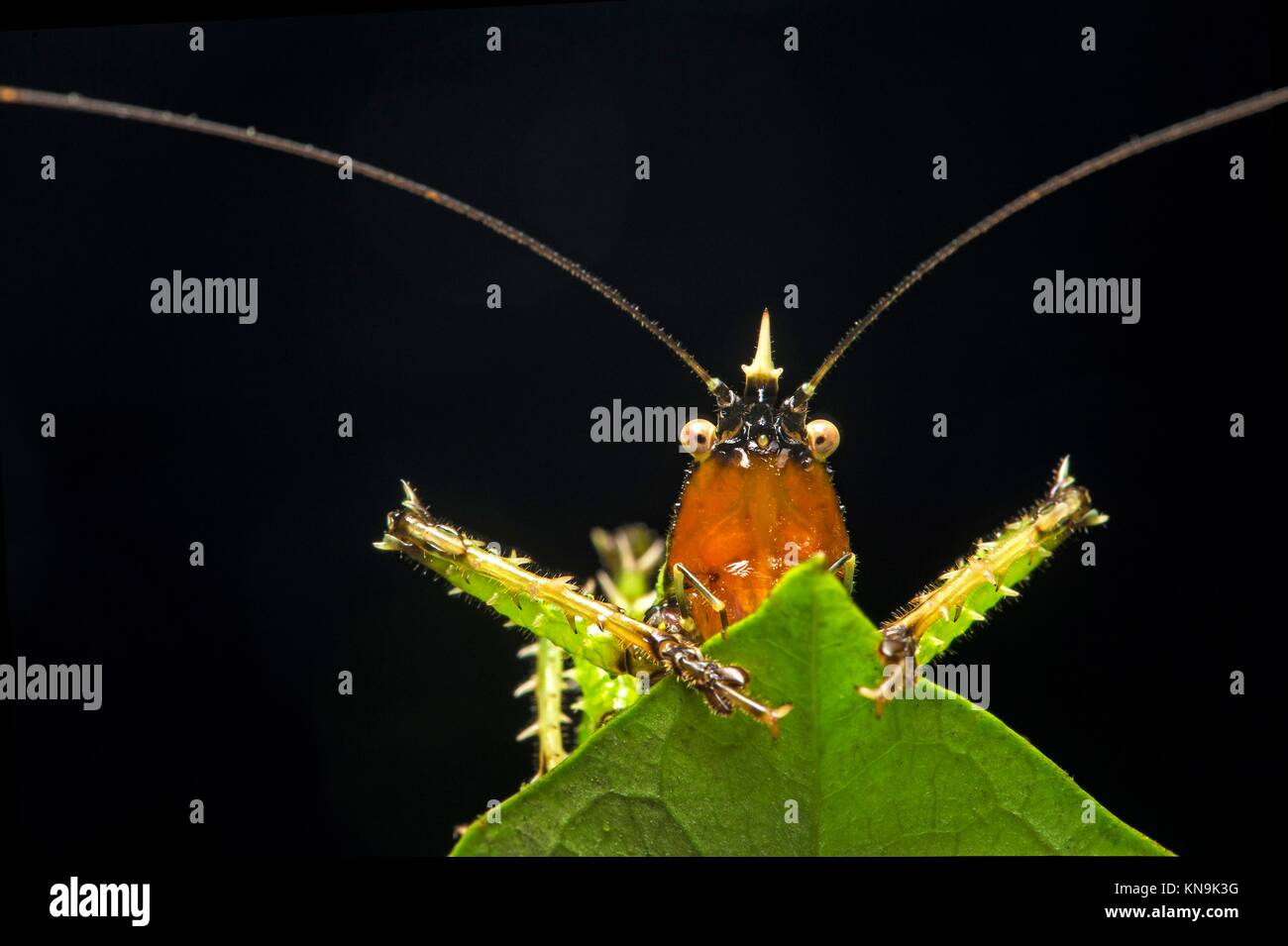 Spiny devil katydid (Panacanthus various), (Tettigoniidae family), Amazon rainforest, Canande River Reserve, Choco - Stock Image
