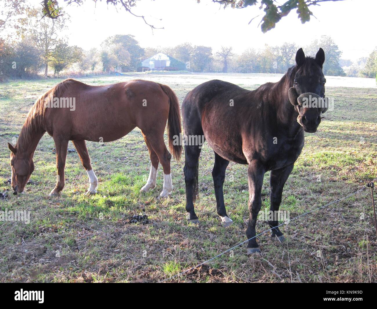 Two horses in Brittany in Brittany. - Stock Image