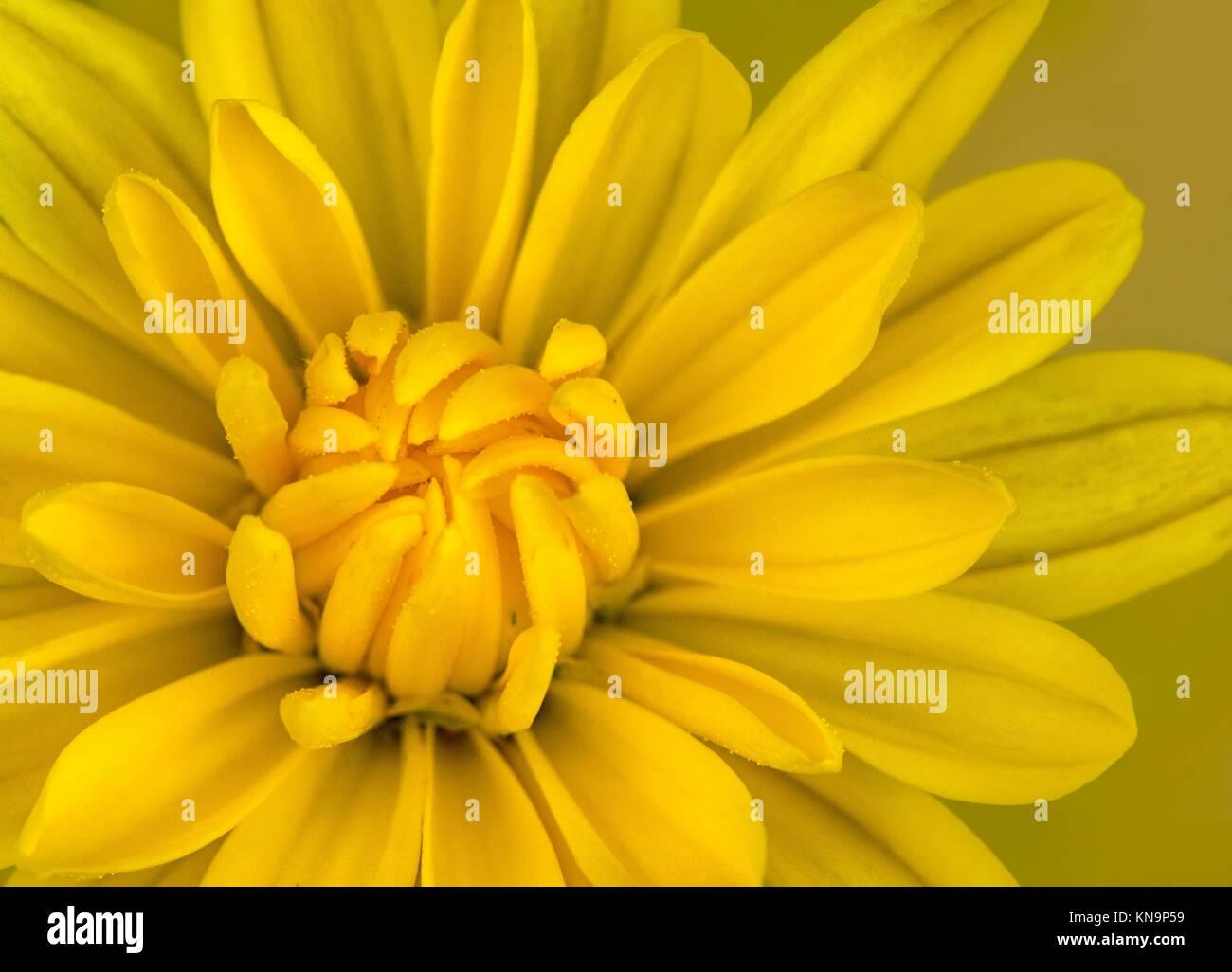 Yellow Mum Stock Photos Yellow Mum Stock Images Alamy