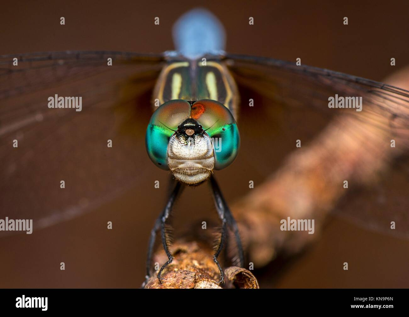 compound eyes of a dragon fly in close. - Stock Image