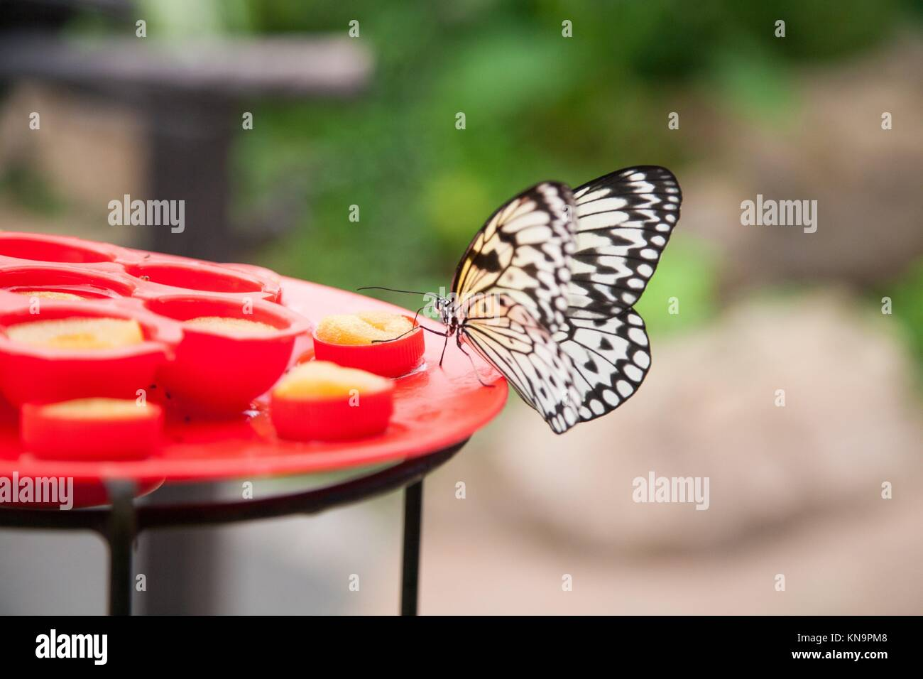 beautiful tropical white and black butterfly named Idea leuconoe, from Nymphalidae family, also known as Paper Kite, - Stock Image