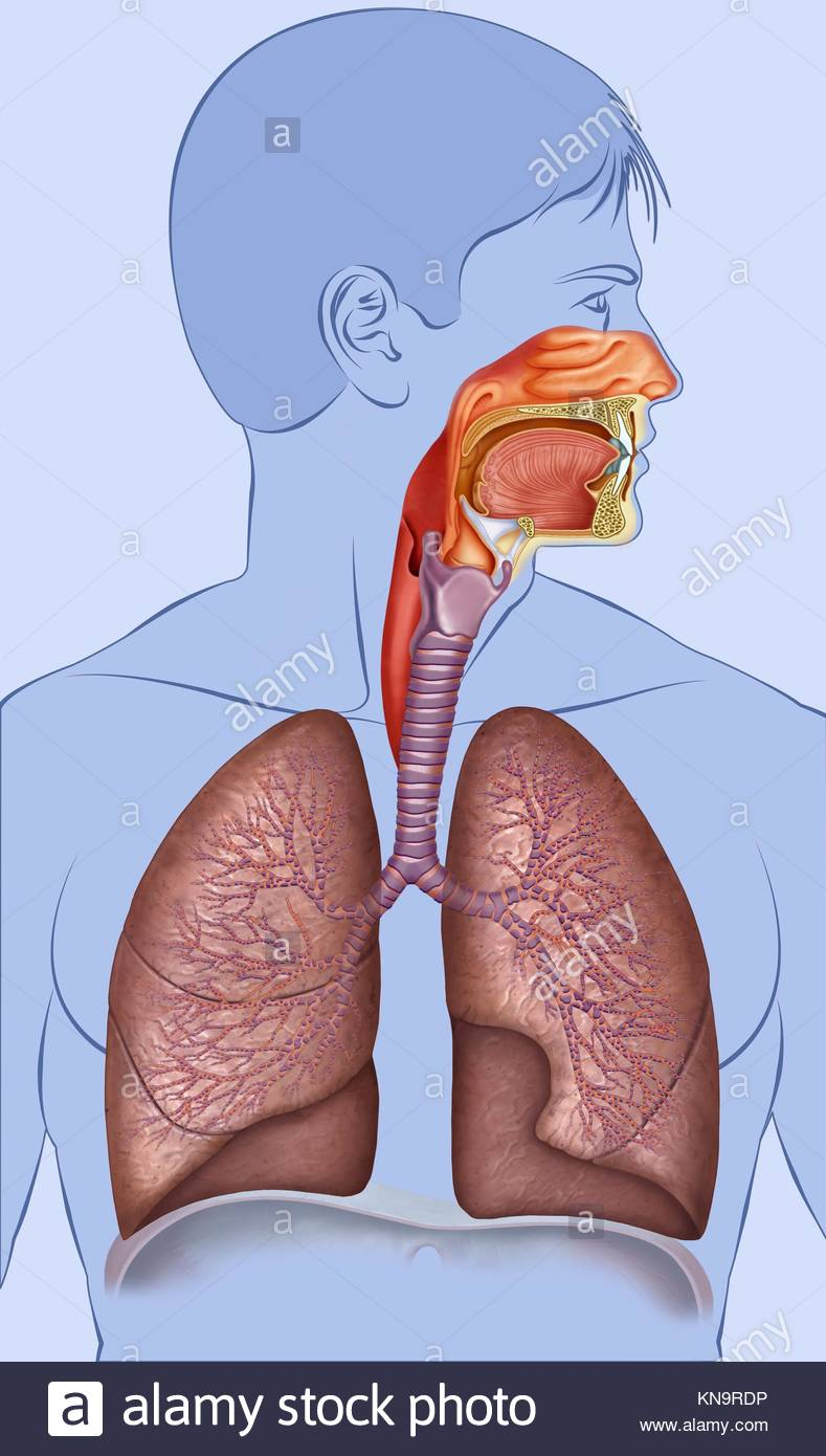 Outline human respiratory system composed of human figure, lungs, traque and bronchi. - Stock Image