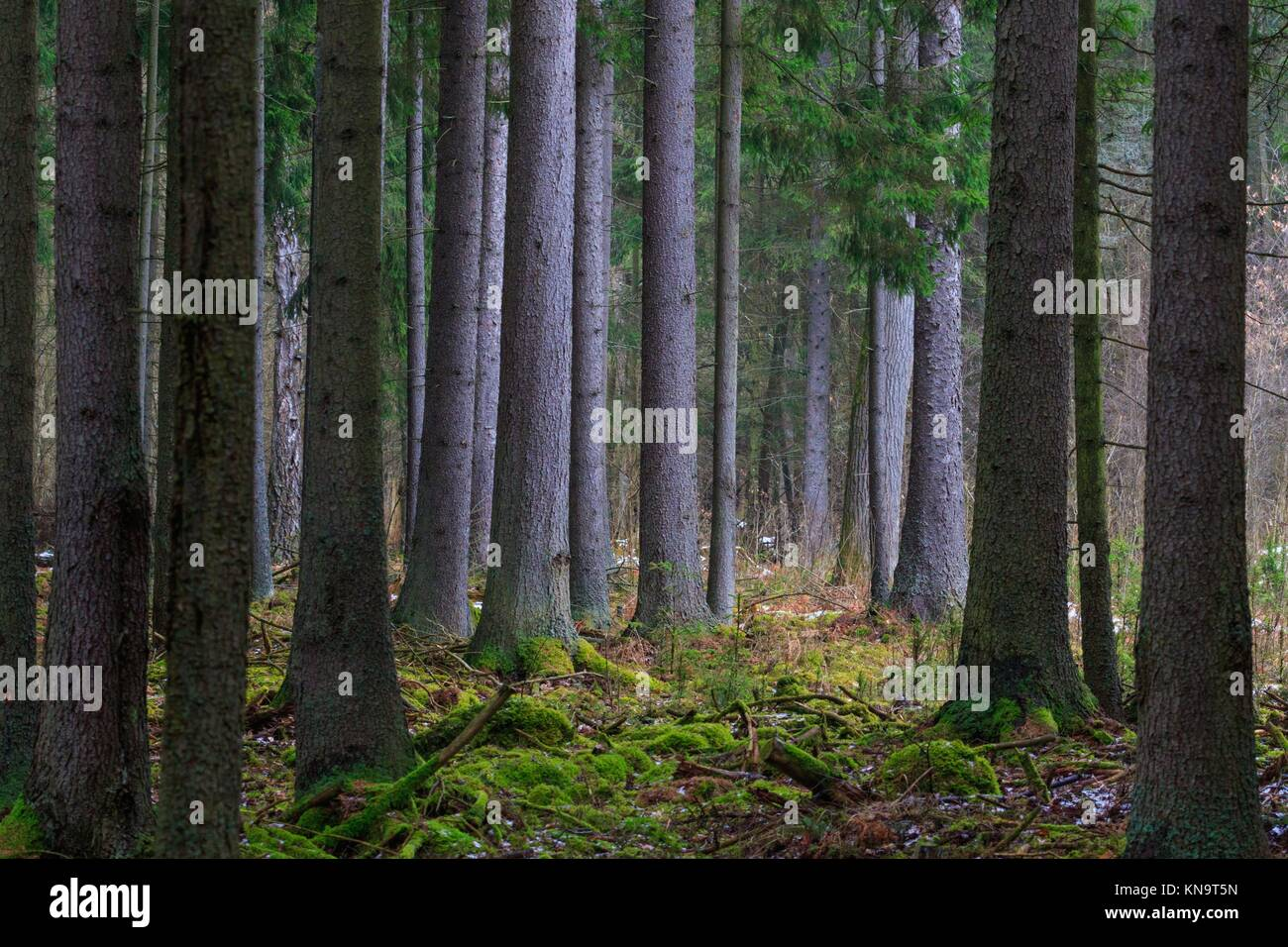 Coniferous stand of spruces in winter cloudy morning, Bialowieza Forest, Poland, Europe. - Stock Image