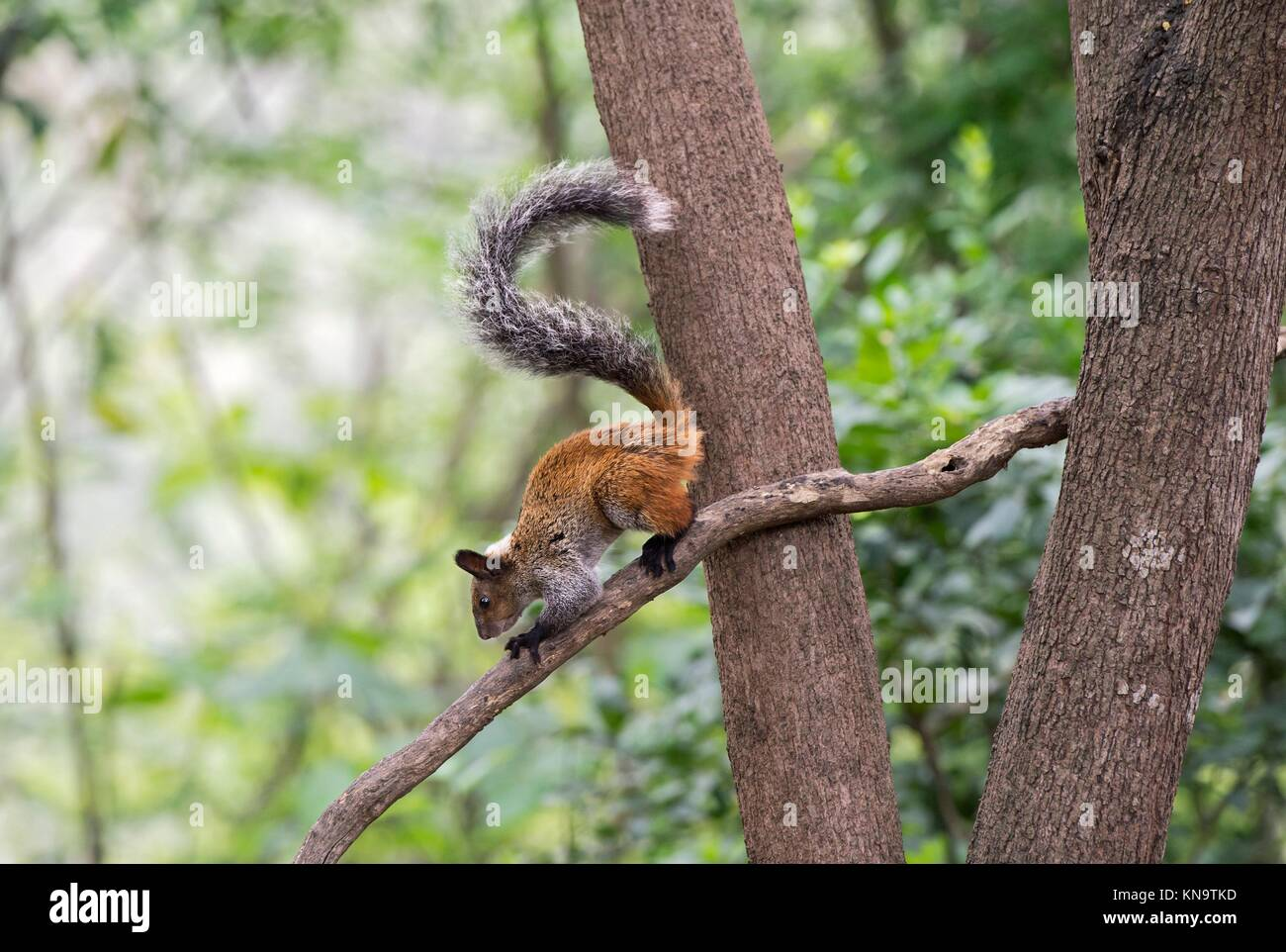 Guayaquil Squirrel (Sciurus stramineus), a tree squirrel endemic to Ecuador and Peru, Squirrel family (Sciuridae), - Stock Image