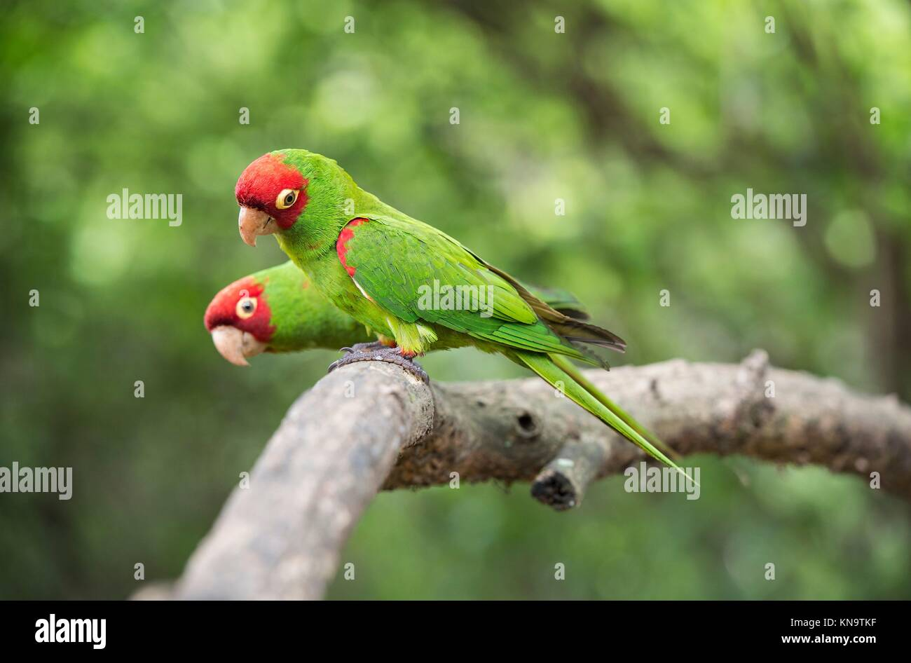 Red-masked parakeets (Psittacara erythrogenys), True parrots family (Psittacidae), Jorupe Biological Reserve, tropical Stock Photo