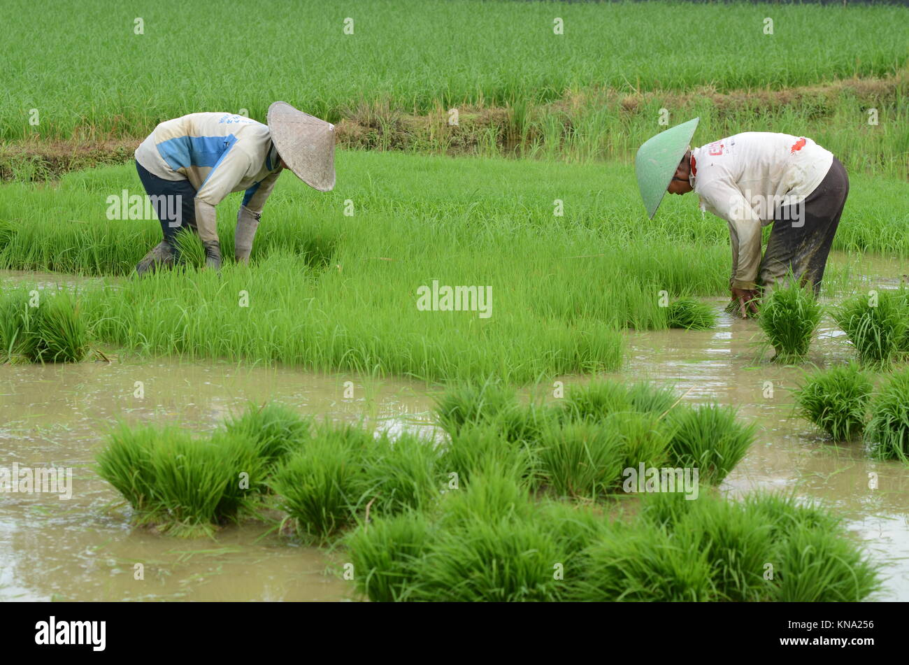 Farmer planting rice in South Sulawesi - Indonesia - Stock Image
