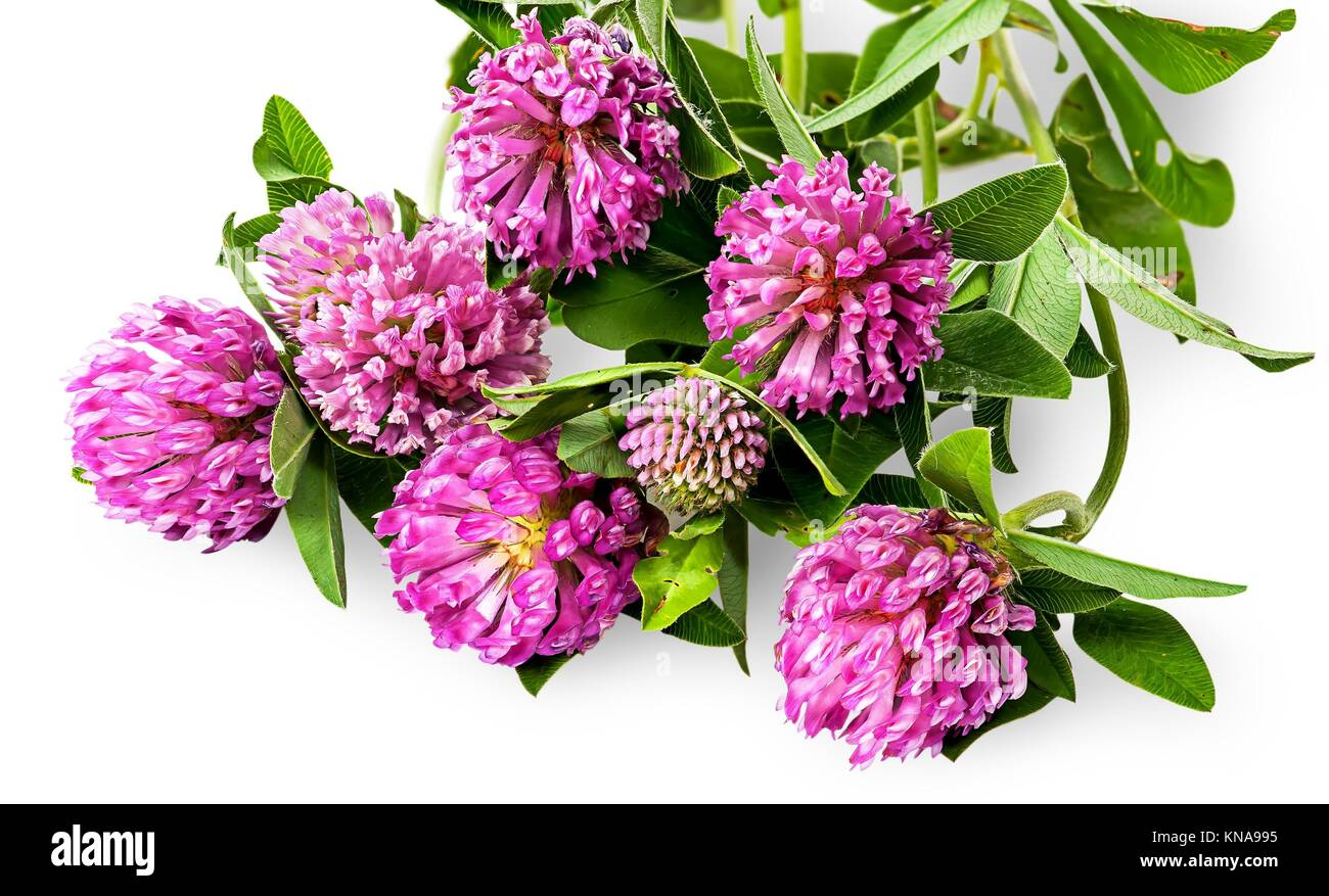 Bouquet of clover flowers with green leaves isolated on white background. Stock Photo