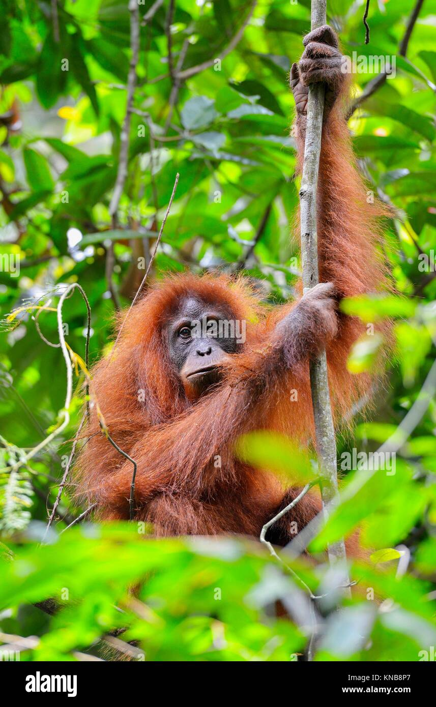 Orangutan in the jungle in Bukit Lawang, Sumatra, Indonesia. - Stock Image