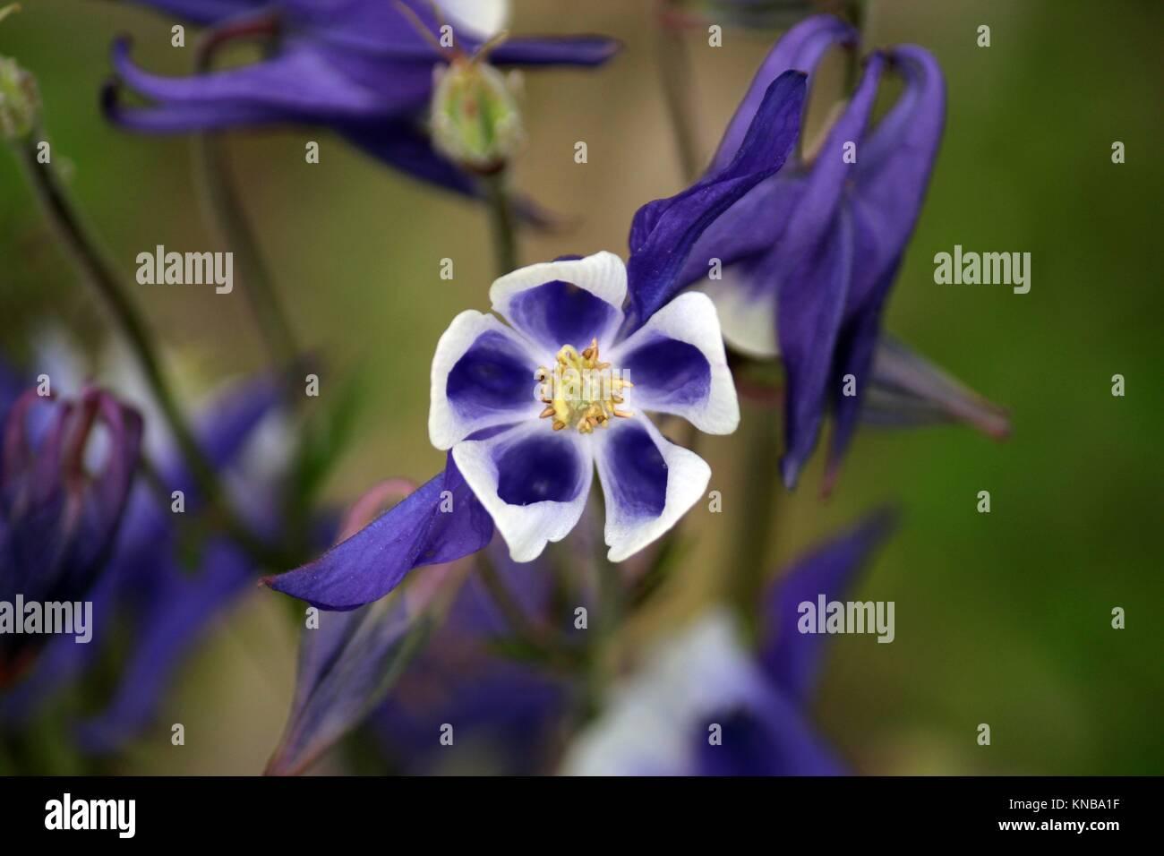 Closeup of a purple Columbine in full bloom using a bokeh effect