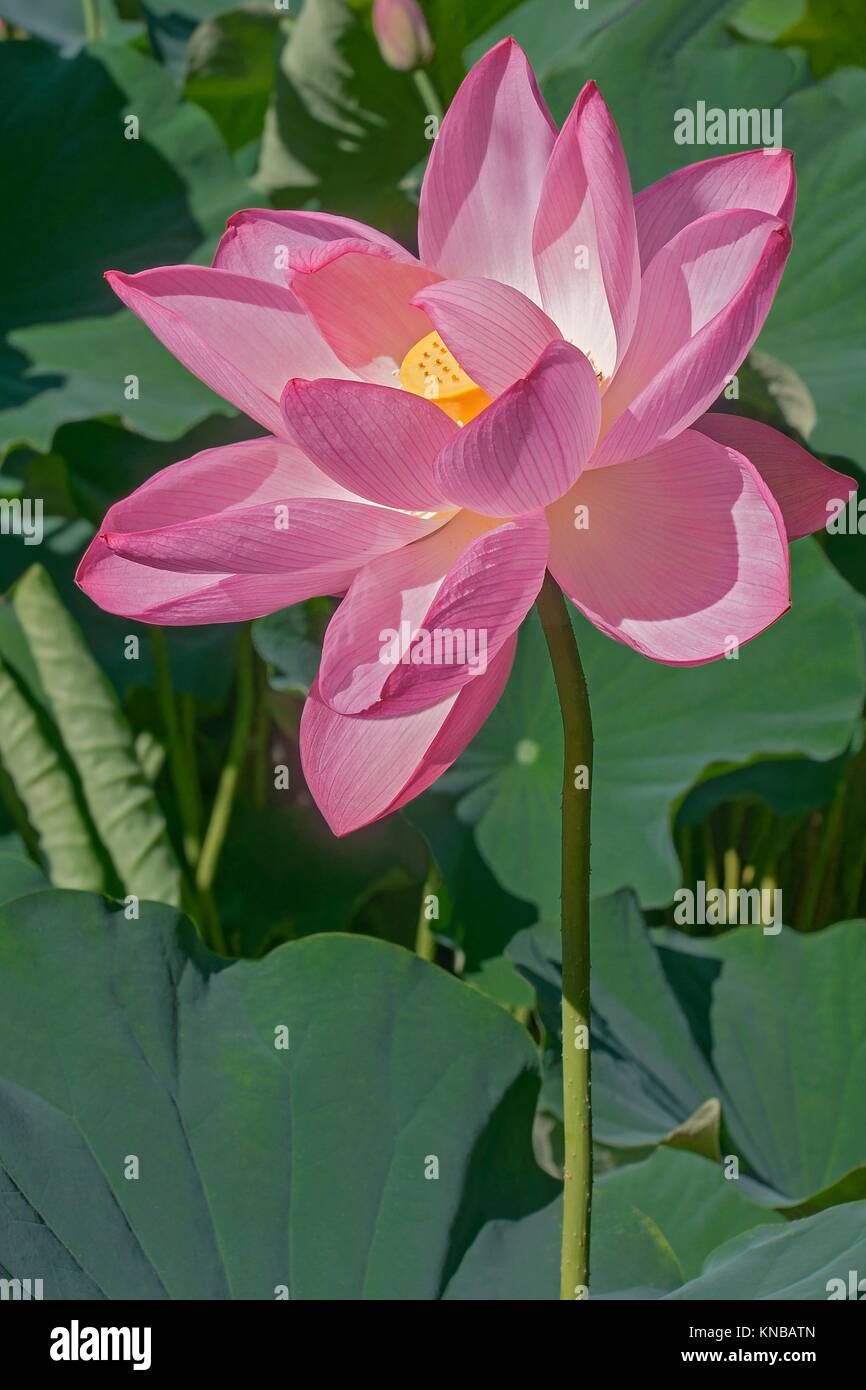 Lotus Flower And Child Stock Photos Amp Lotus Flower And