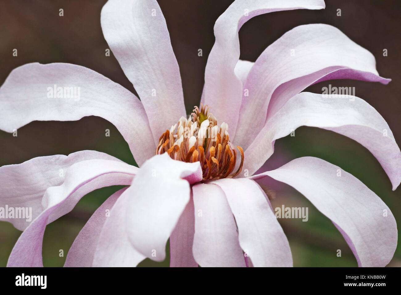 Leonard Messel loebner magnolia flower (Magnolia x loebneri Leonard Messel). Stock Photo