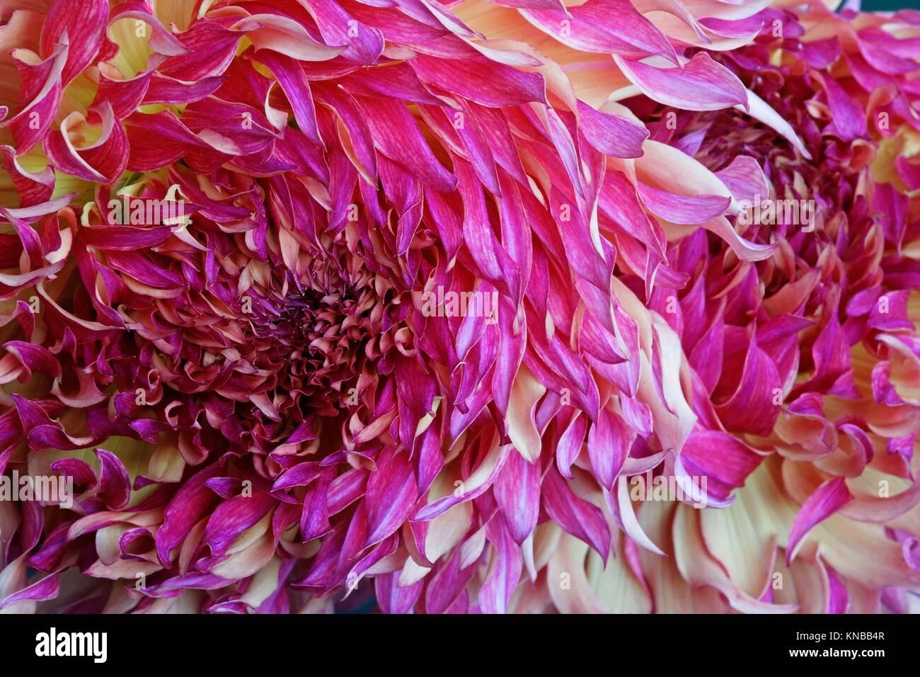 Dahlia flower (Dahlia x cultorum). Close up image of multicolored ...