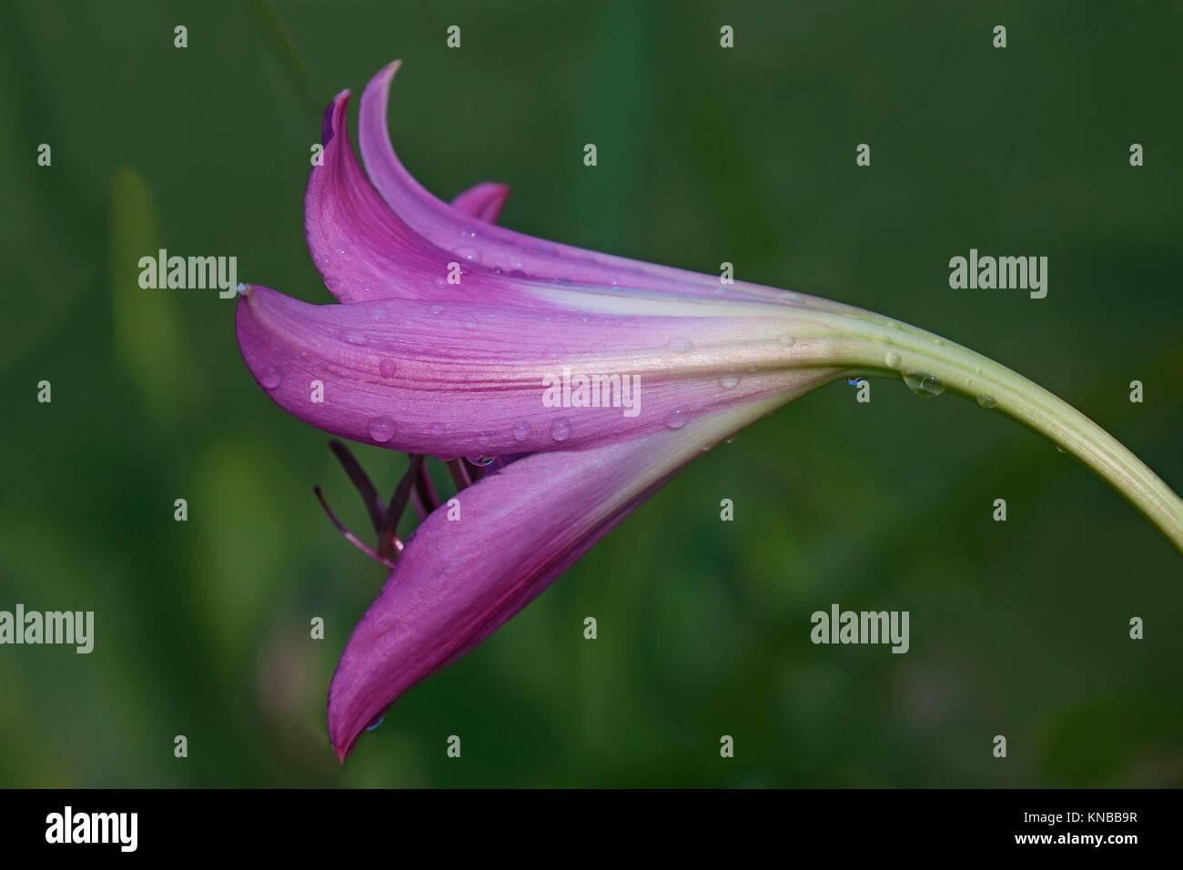 Swamp lily (Crinum x powellii). Hybrid between Crinum bulbispermum and Crunum moorei. Close up image of flower. Stock Photo