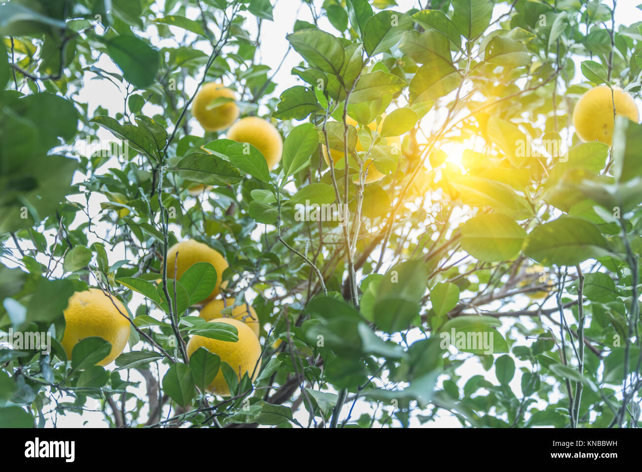 Fresh oranges growing on tree in city of China. Stock Photo