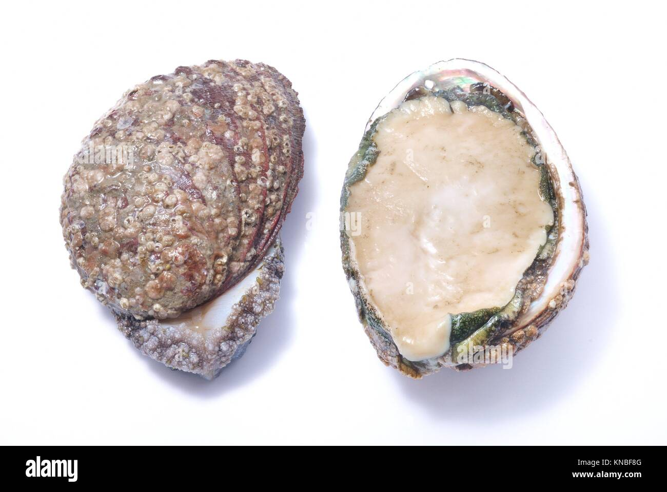 Abalone. - Stock Image