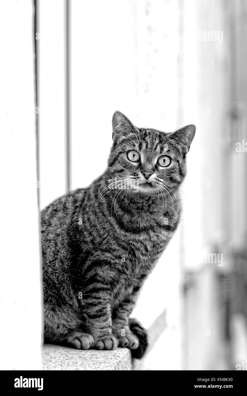 Funny stray cat sit on a windowsill and look to the camera black and white portrait - Stock Image