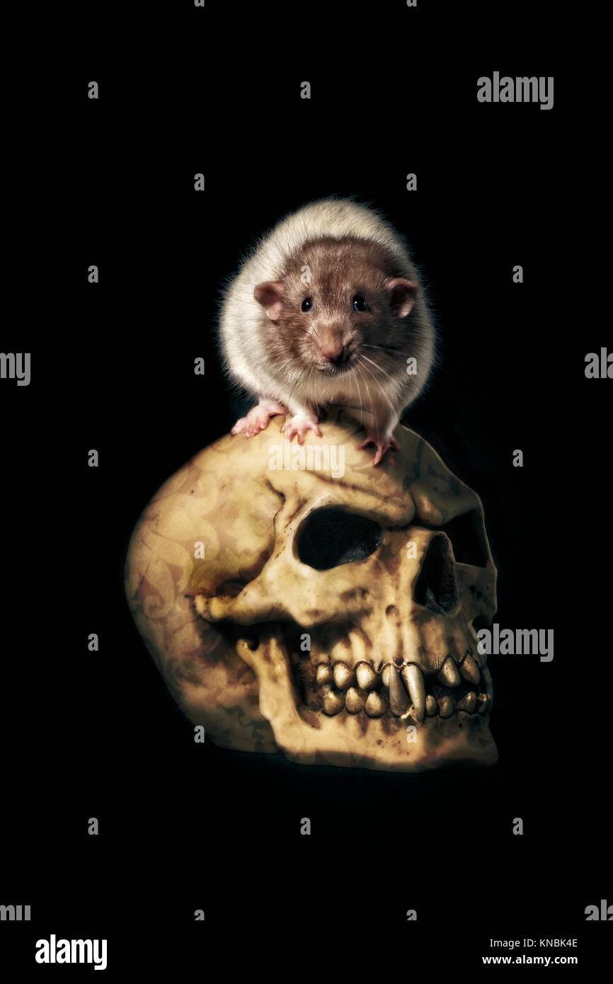 Creepy rat sit on a horror skull isolated on black - Stock Image