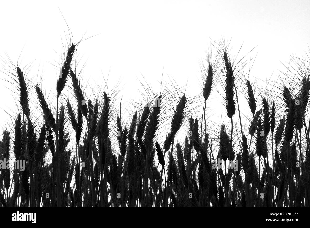 wheat field ,black and white, silhouette,. - Stock Image