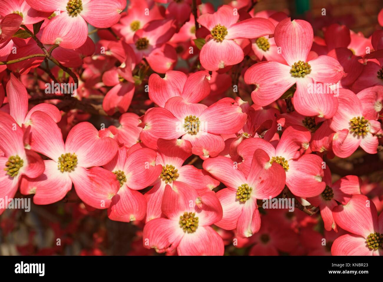 Flowering Dogwood (Cornus florida). Called American Dogwood and Eastern Dogwood also. State tree of North Carolina, Stock Photo