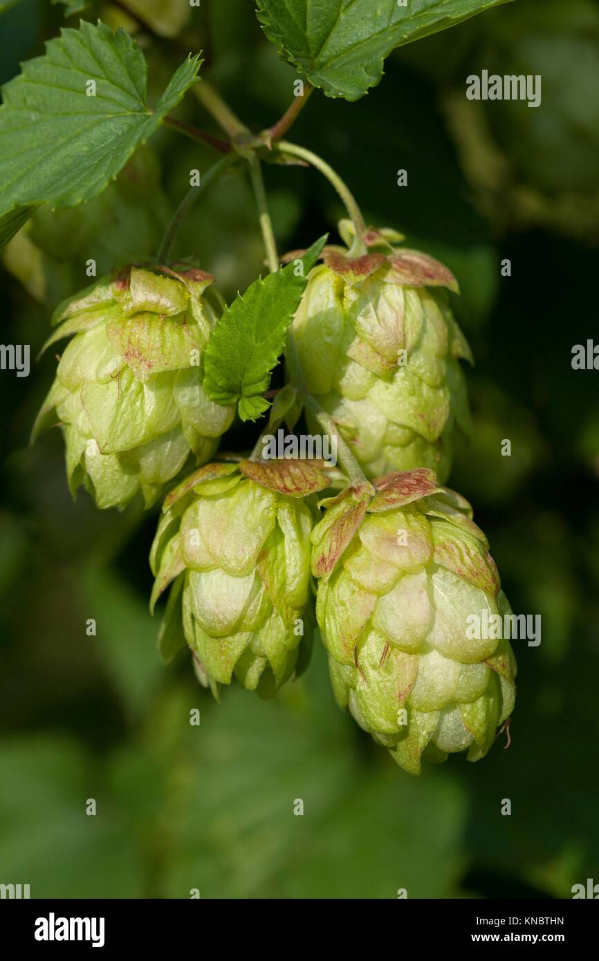Twig of a hop plant close up. - Stock Image