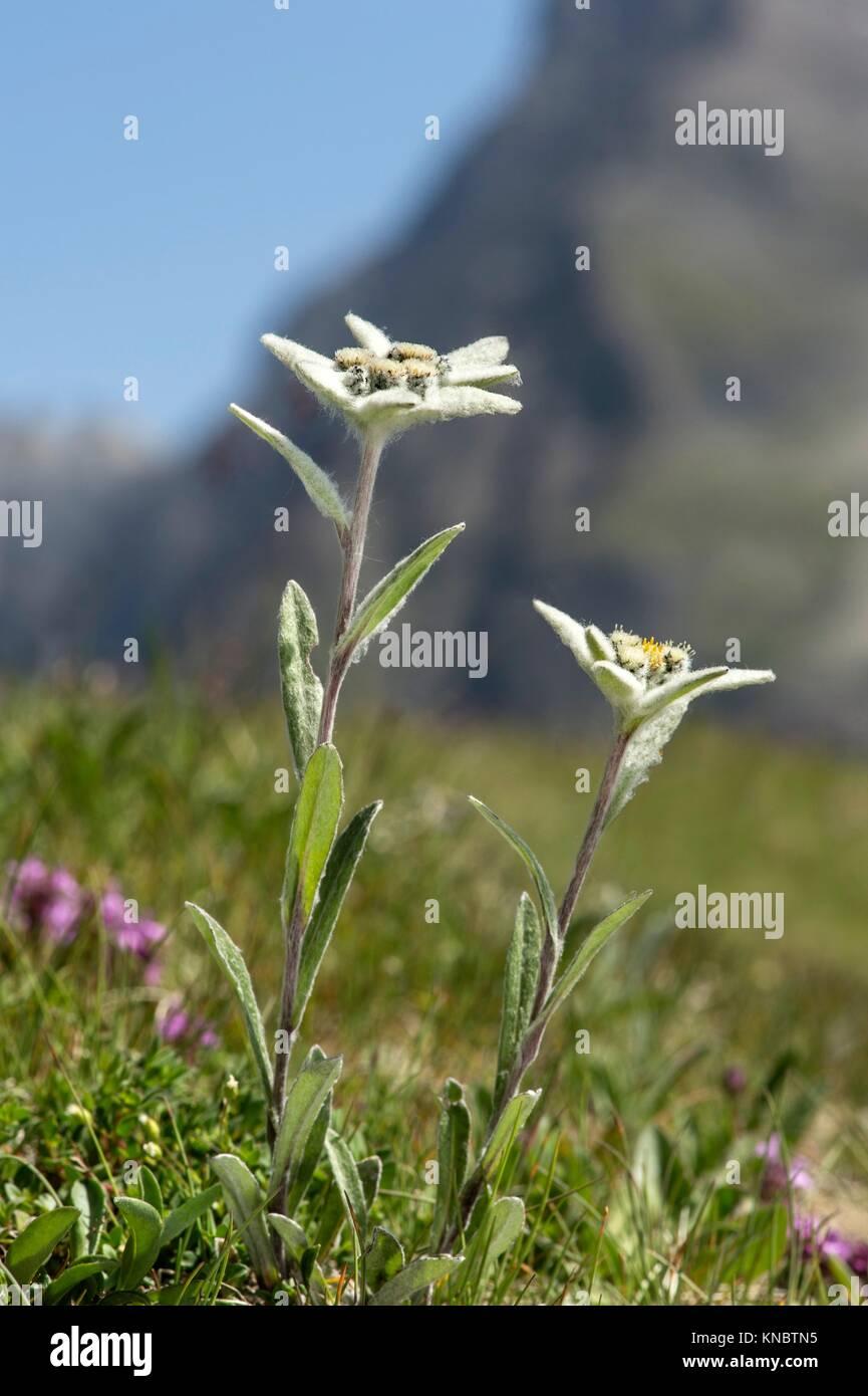 Edelweiss (Leontopodium alpinum Cass. ), Aster family (Asteraceae), Val de Bagnes, Valais, Switzerland. - Stock Image