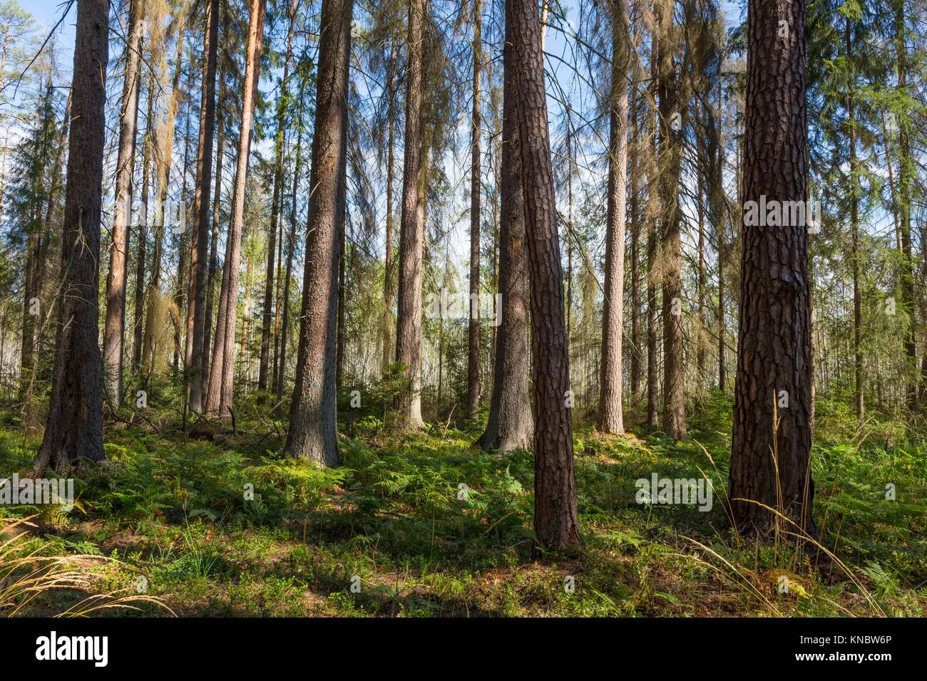 Early autumn morning in the forest with mist and dead spruces still standing, Bialowieza forest, Poland, Europe. - Stock Image