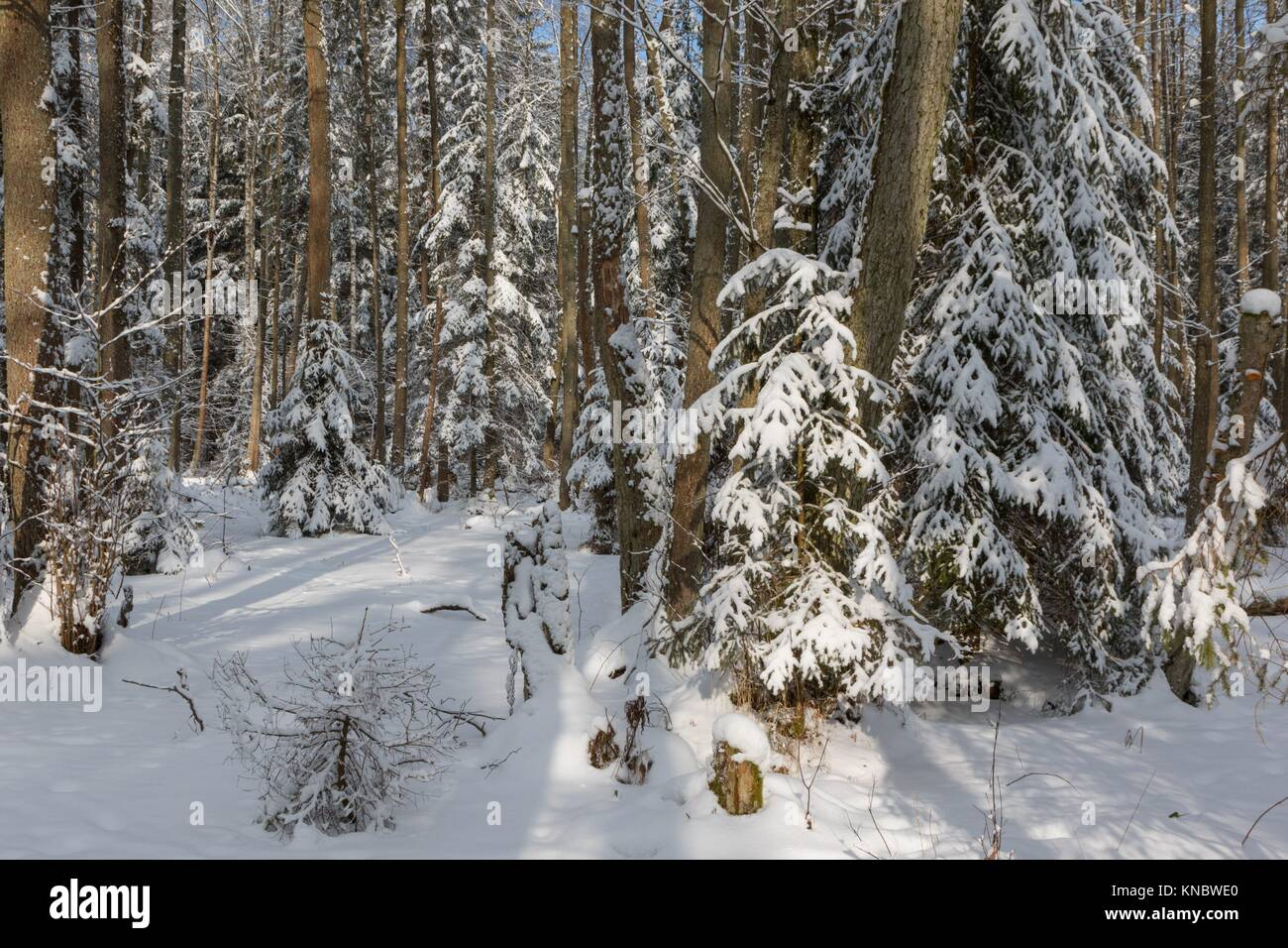 Winter landscape of riparian stand in sunset light with young spruces snow wrapped, Bialowieza Forest, Poland, Europe. - Stock Image