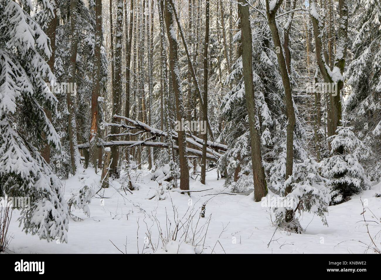 Winter landscape of riparian stand in sunset light with young spruces snow wrapped,Bialowieza Forest,Poland,Europe. - Stock Image