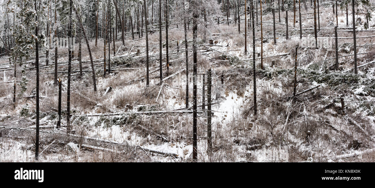 Forest disaster. Storm damage in the forest - natural disaster. - Stock Image