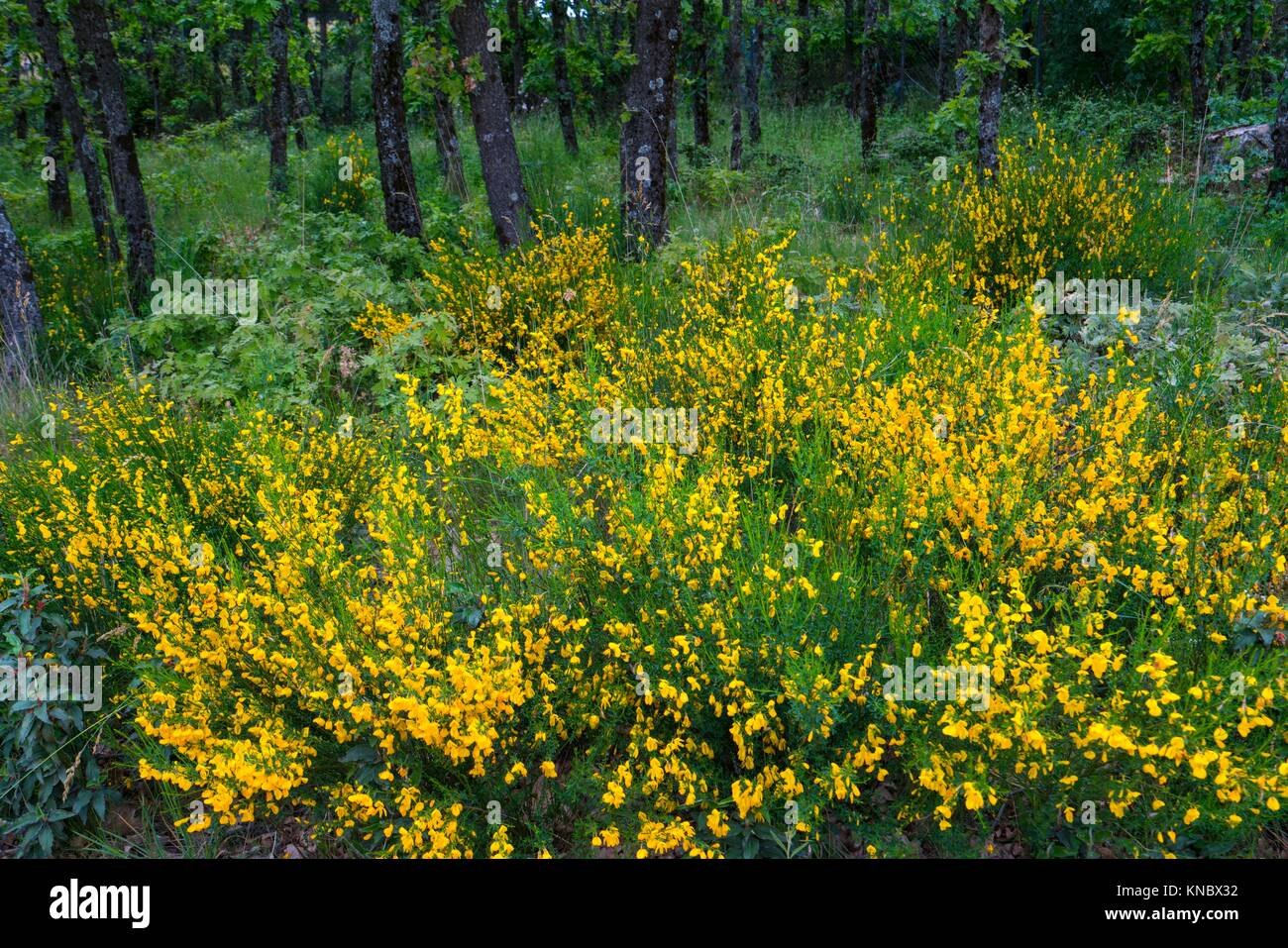 Pyrenean Oak forest and Common Broom, Sierra de Guadarrama, Madrid, Spain, Europe. Stock Photo