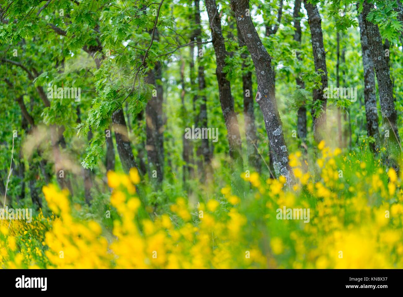 Pyrenean Oak forest and Common Broom, Sierra de Guadarrama, Madrid, Spain, Europe. Stock Photo