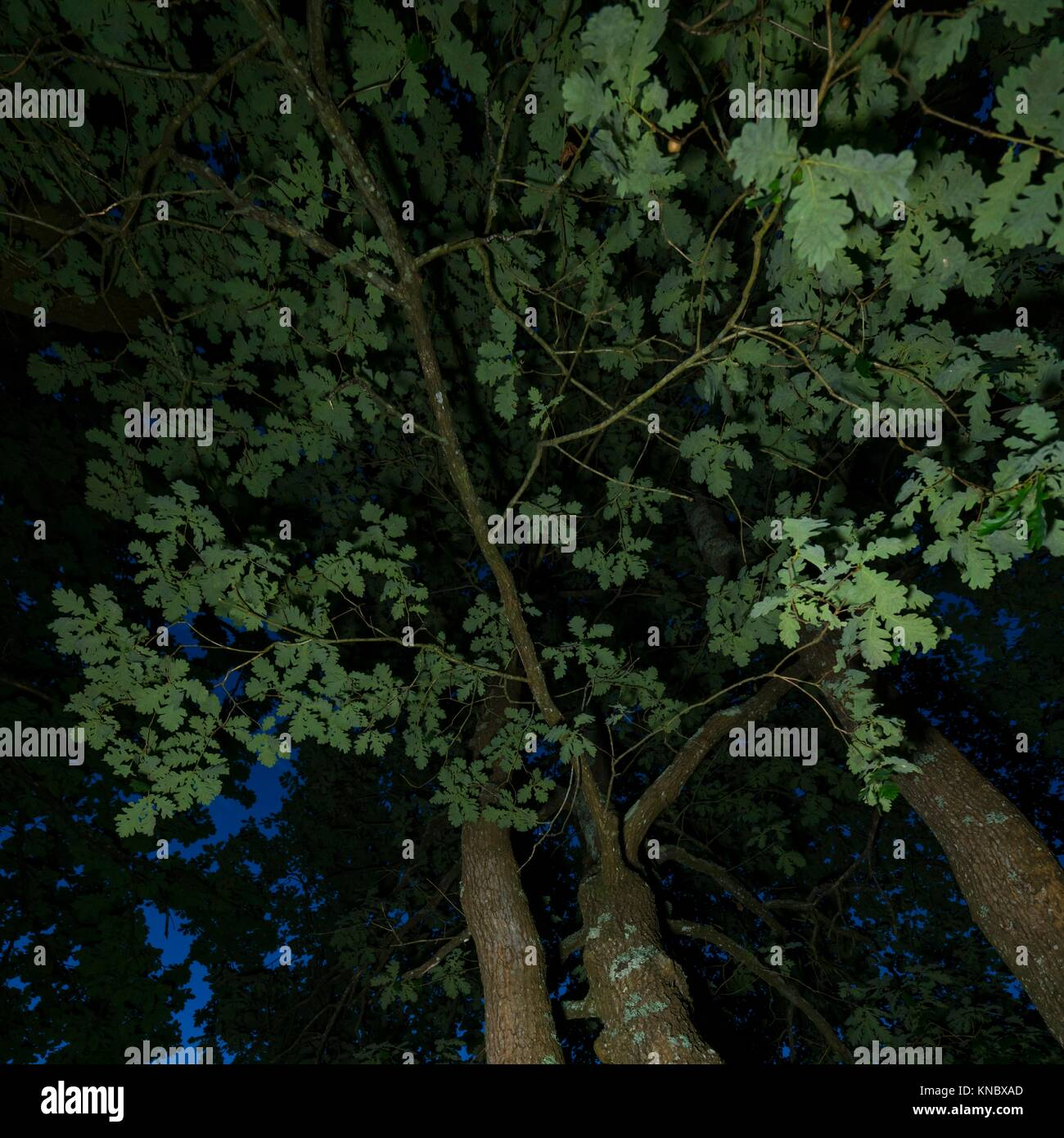 Oak at night, Liendo Valley, MOC Montaña Oriental Costera, NATURA 2000, Cantabria, Spain, Europe. - Stock Image