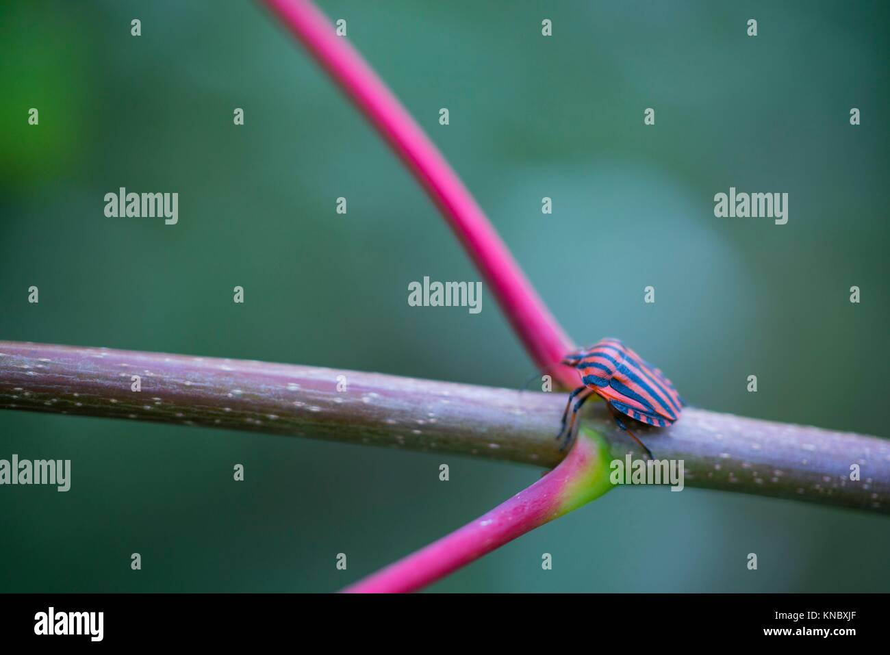 Italian striped bug and minstrel bug (Graphosoma lineatum), Pentatomoidea, Hemipteros, Redes Natural Park, Caso Stock Photo