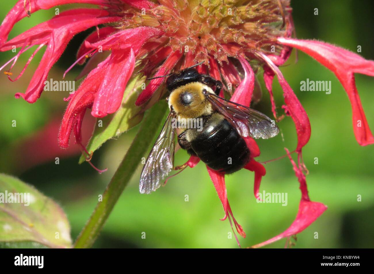 Carpenter bee (m) on bee balm - Stock Image