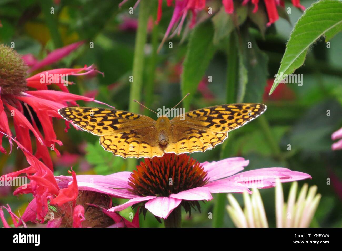 Great Spangled fritillary butterfly - Stock Image