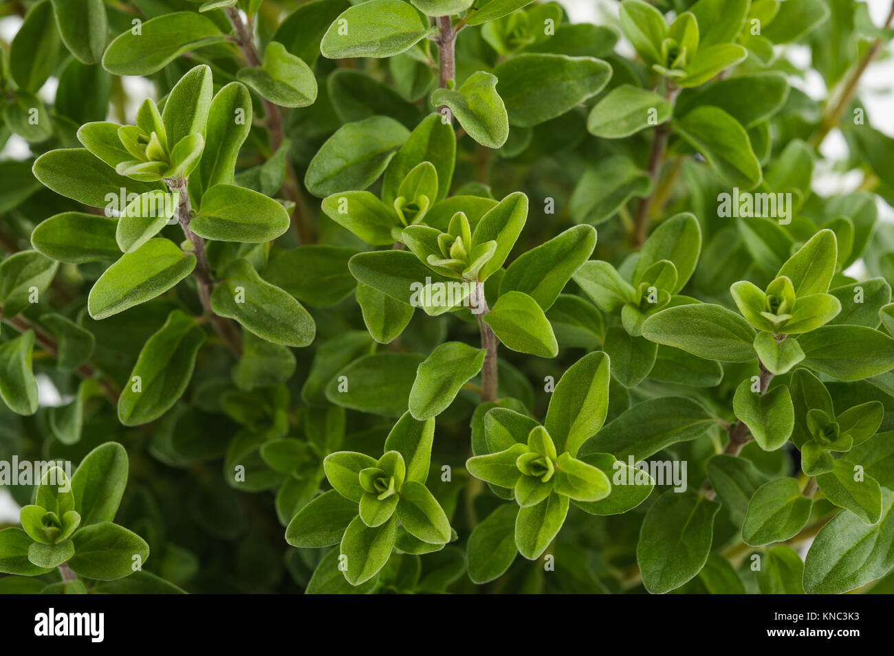Fresh green marjoram plants background - Stock Image