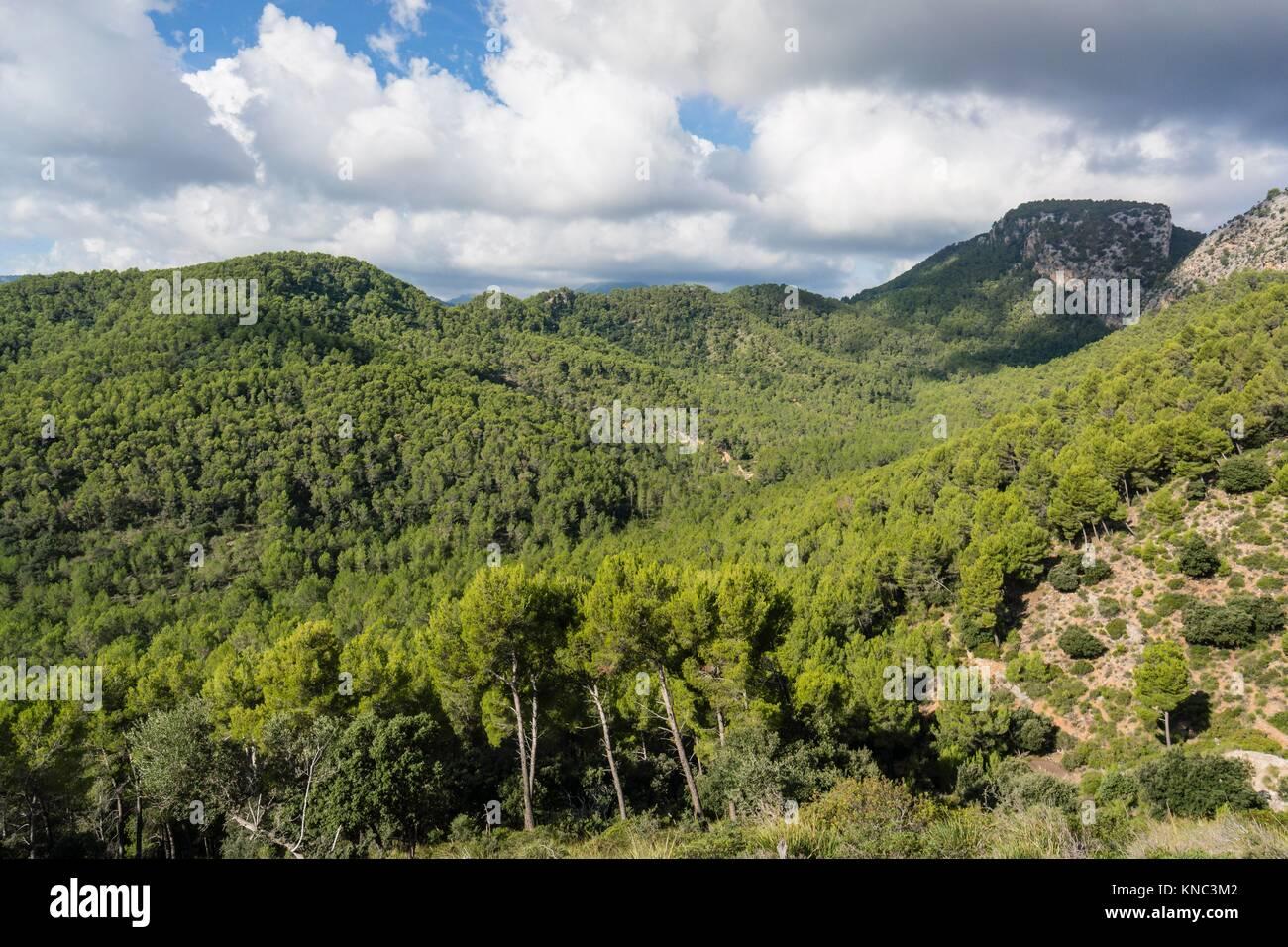 Pinar de Canet,Pinus halepensis, Moleta de Son Cabaspre, Esporles, sierra de Tramuntana, Mallorca, Balearic Islands, - Stock Image