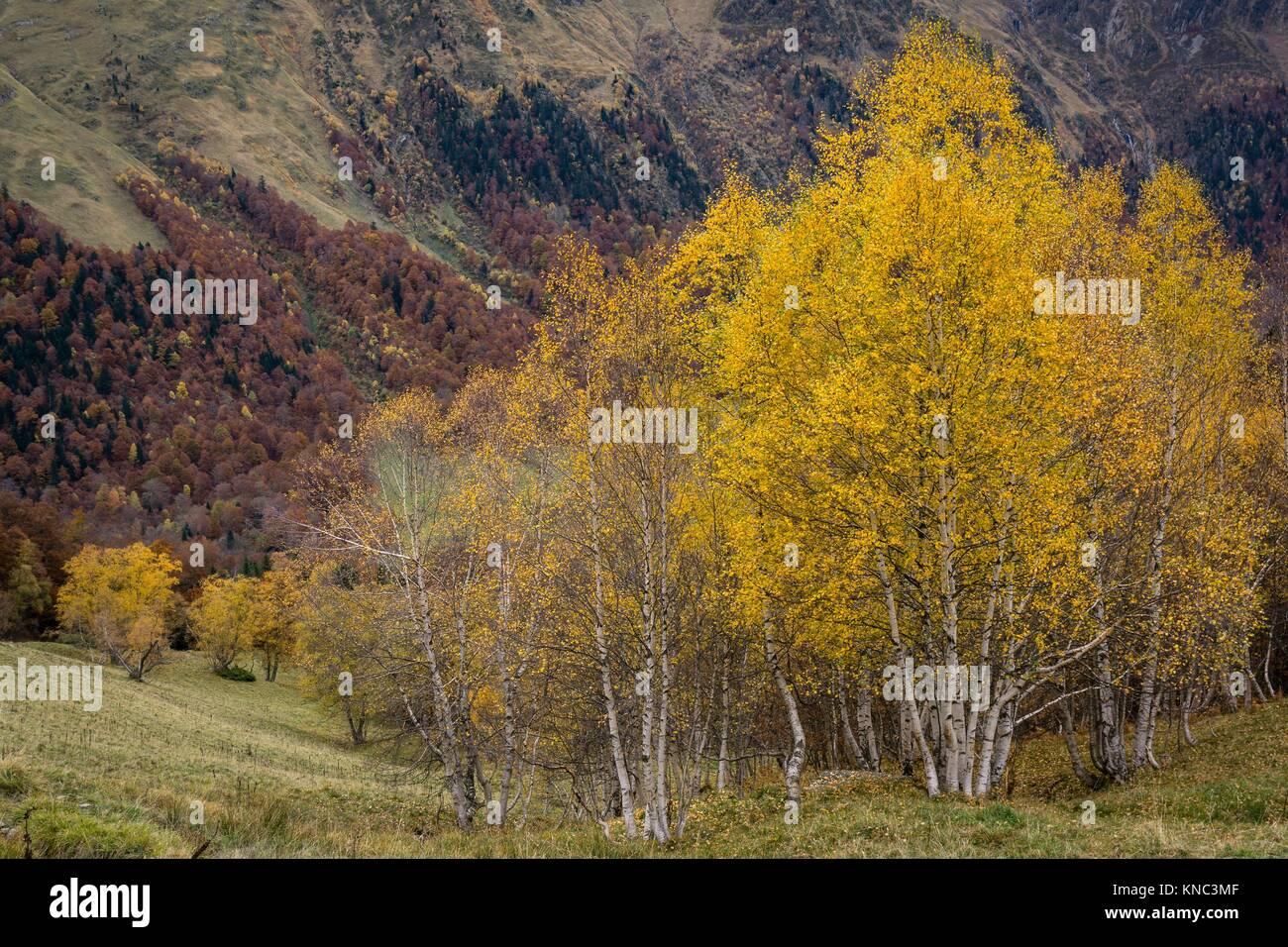 abedules, Artiga de Lin, valle de Aran, lleida, Catalunya, Pyrenees Mountains, Spain - Stock Image
